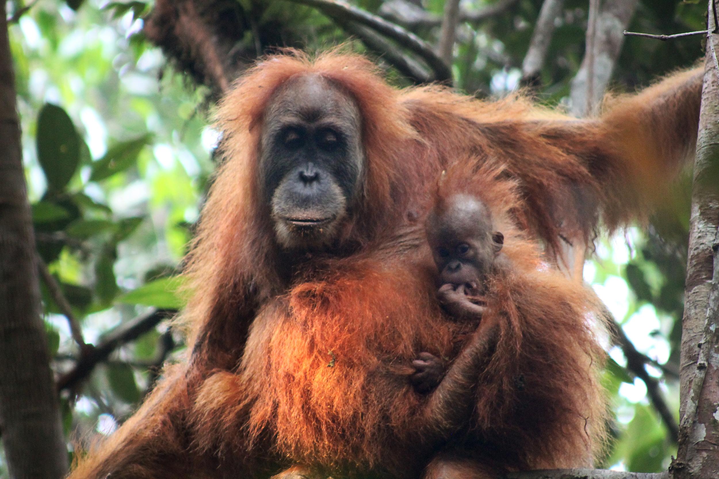 mother and child orangutan