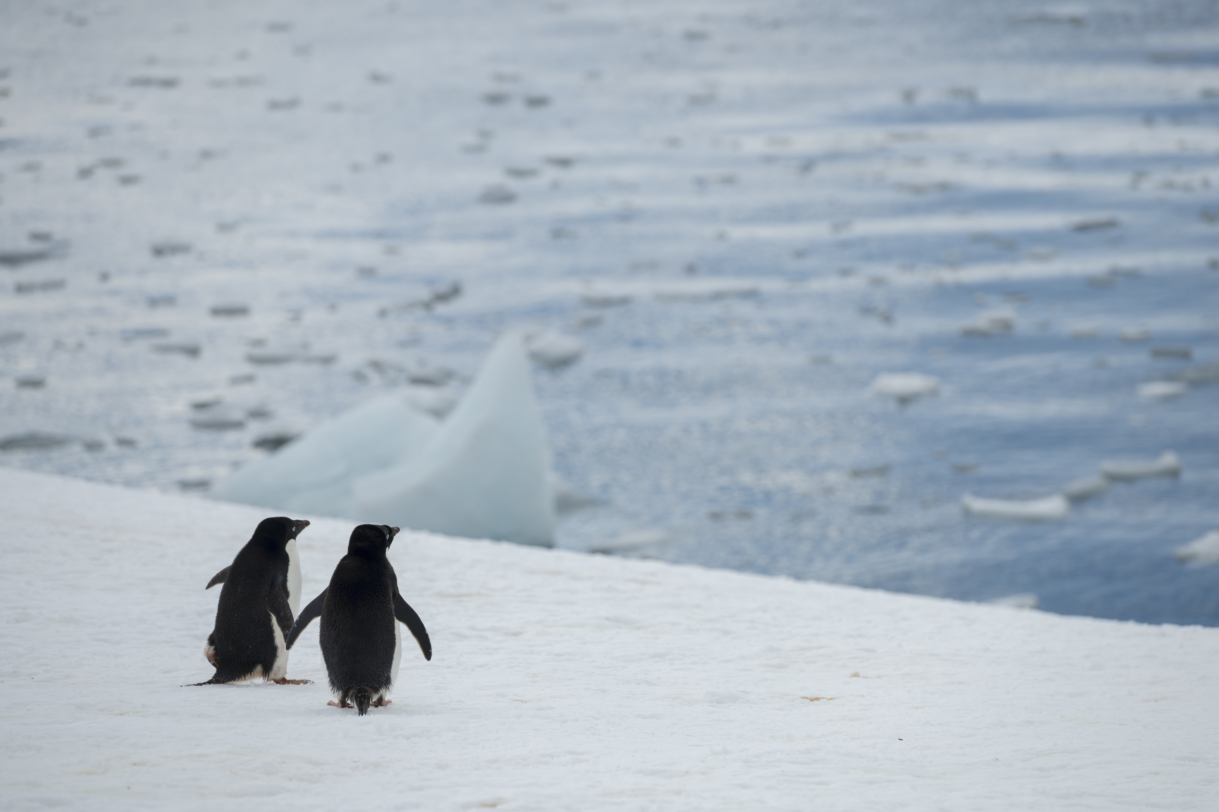 2 penguins on the edge of the ice