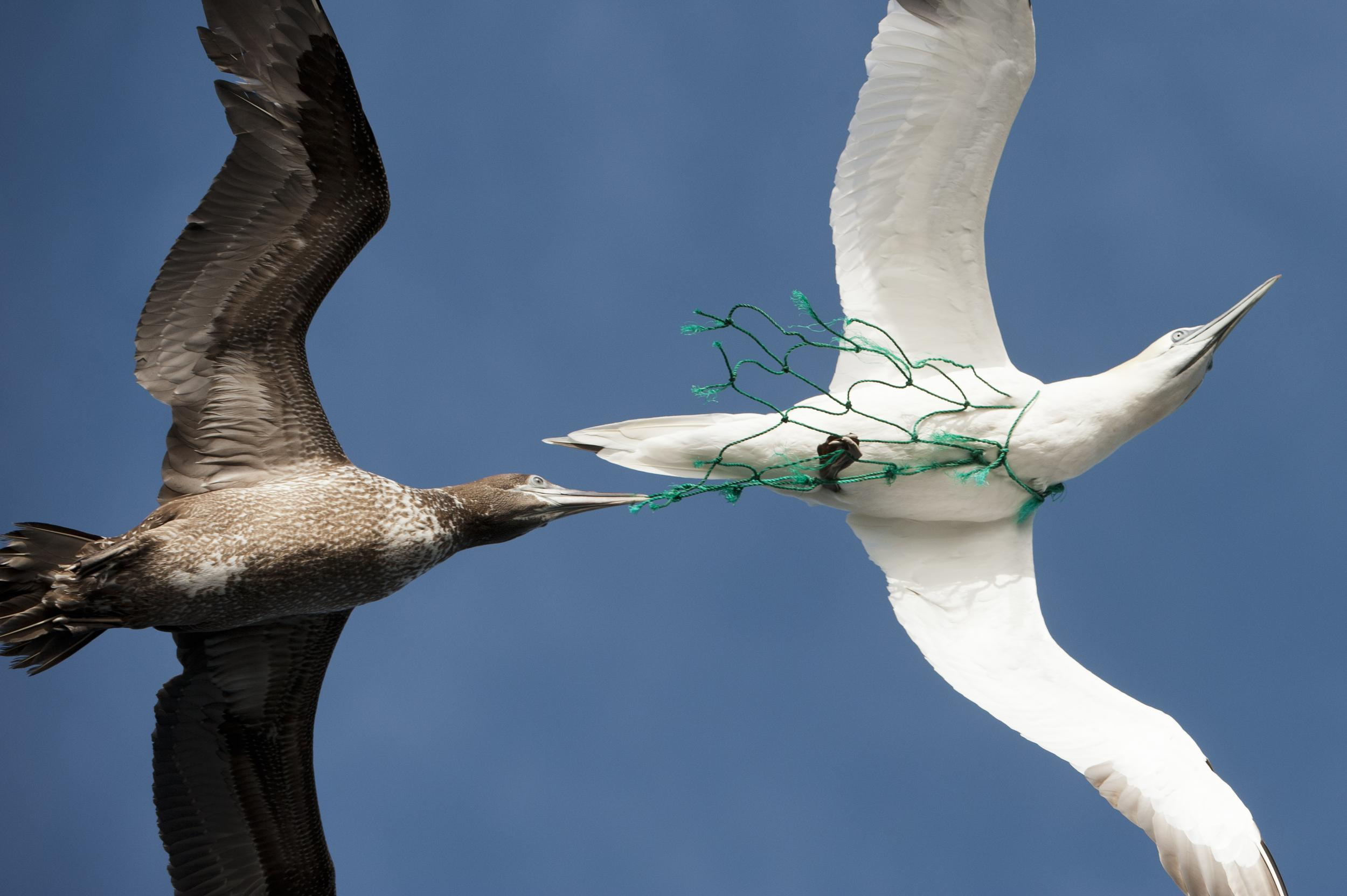 Sea birds with a piece of plastic fishing net stuck around its neck