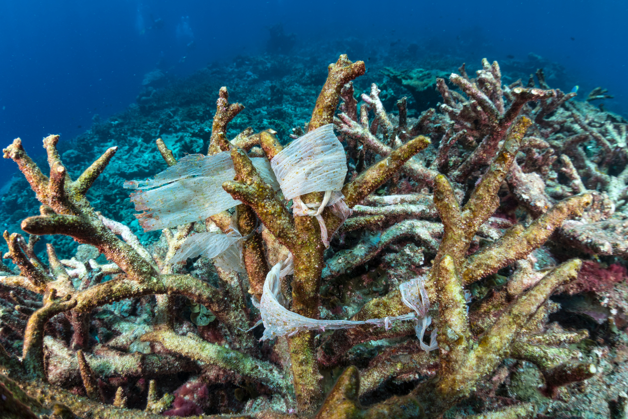 Plastic caught up in corals underwater in the Maldives