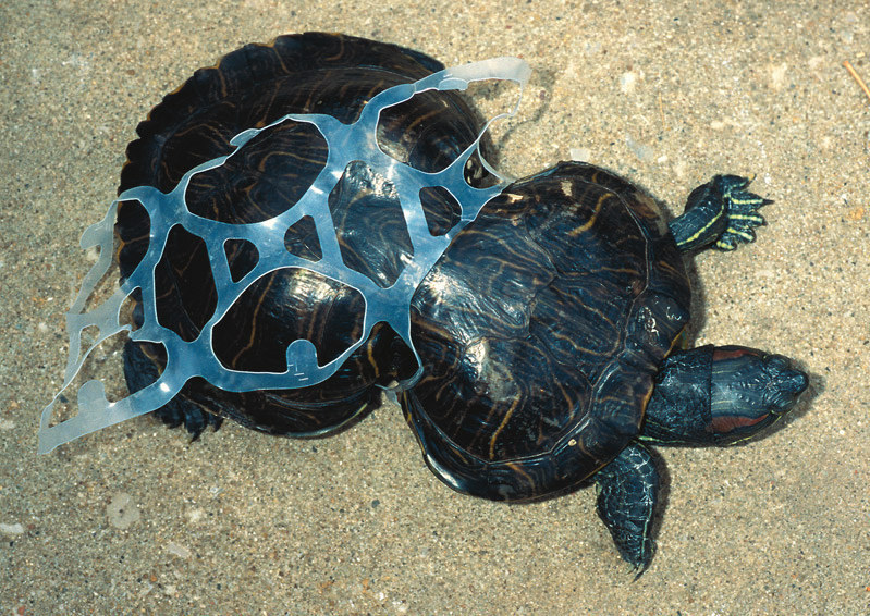 Terrapin trapped in plastic packaging