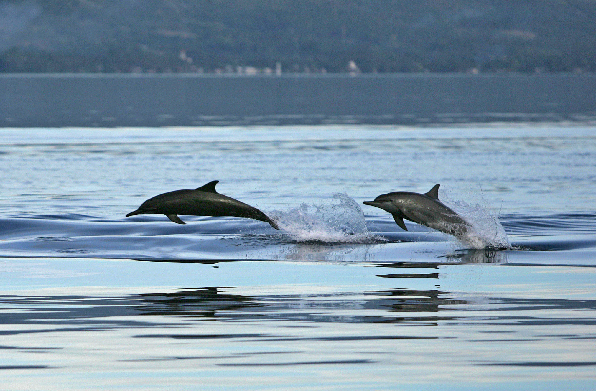 dolphins leaping in waves
