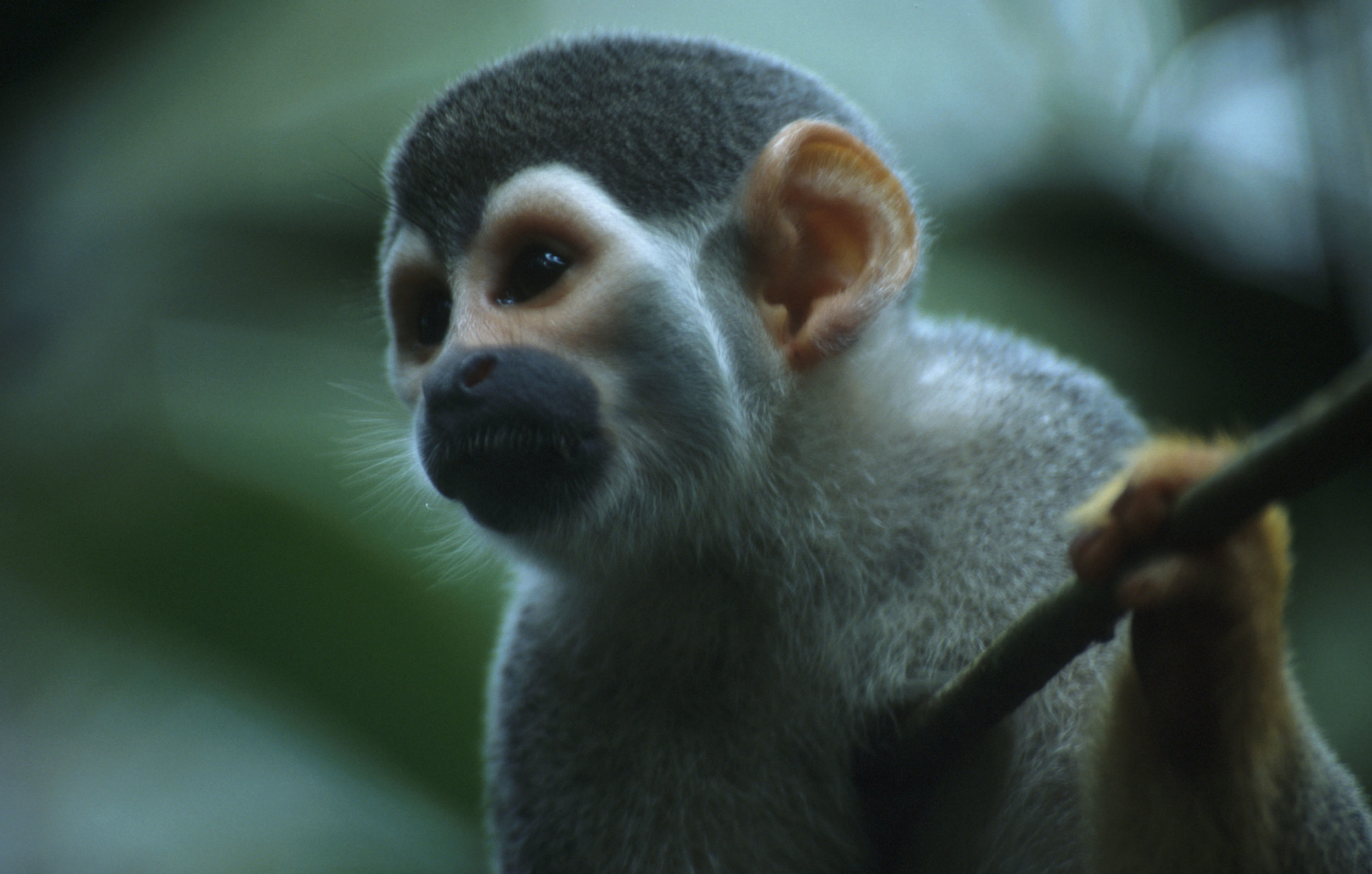 close up of squirrel monkey