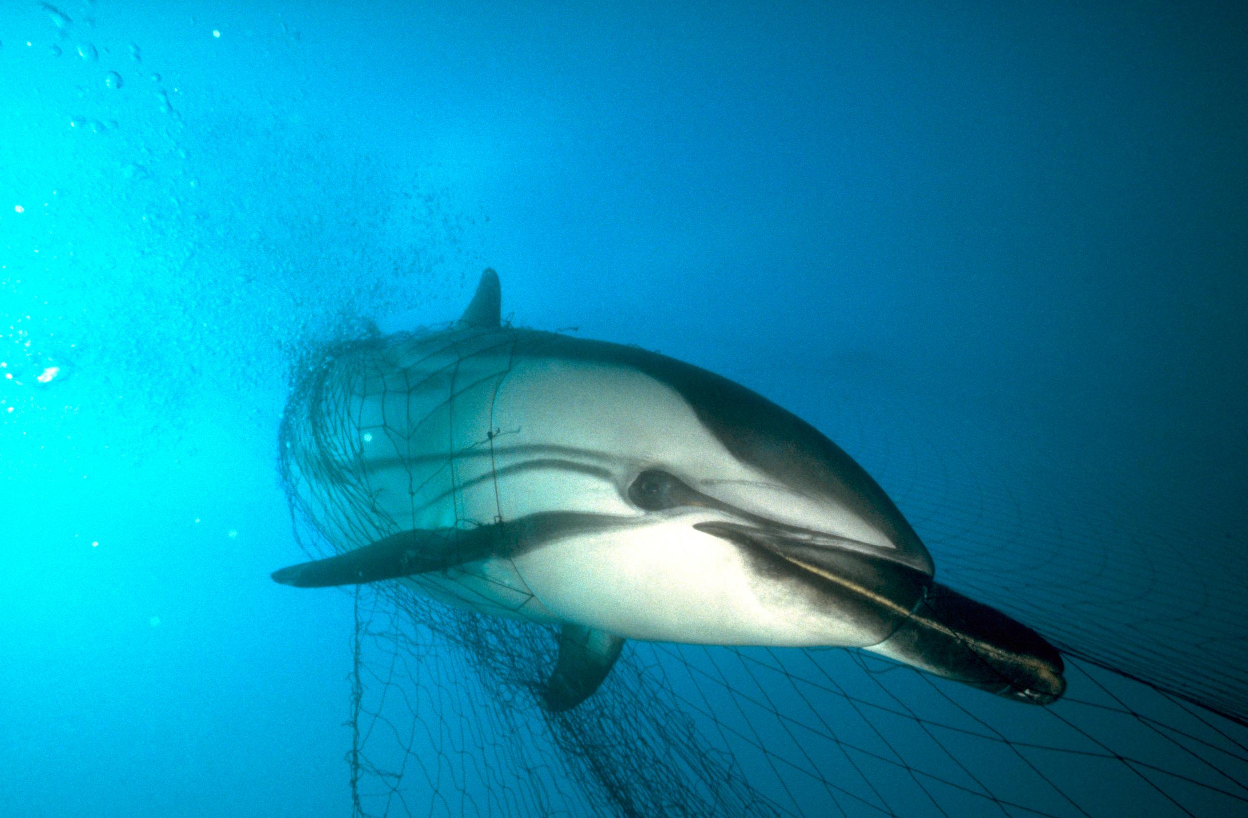 delfín atrapado en una red