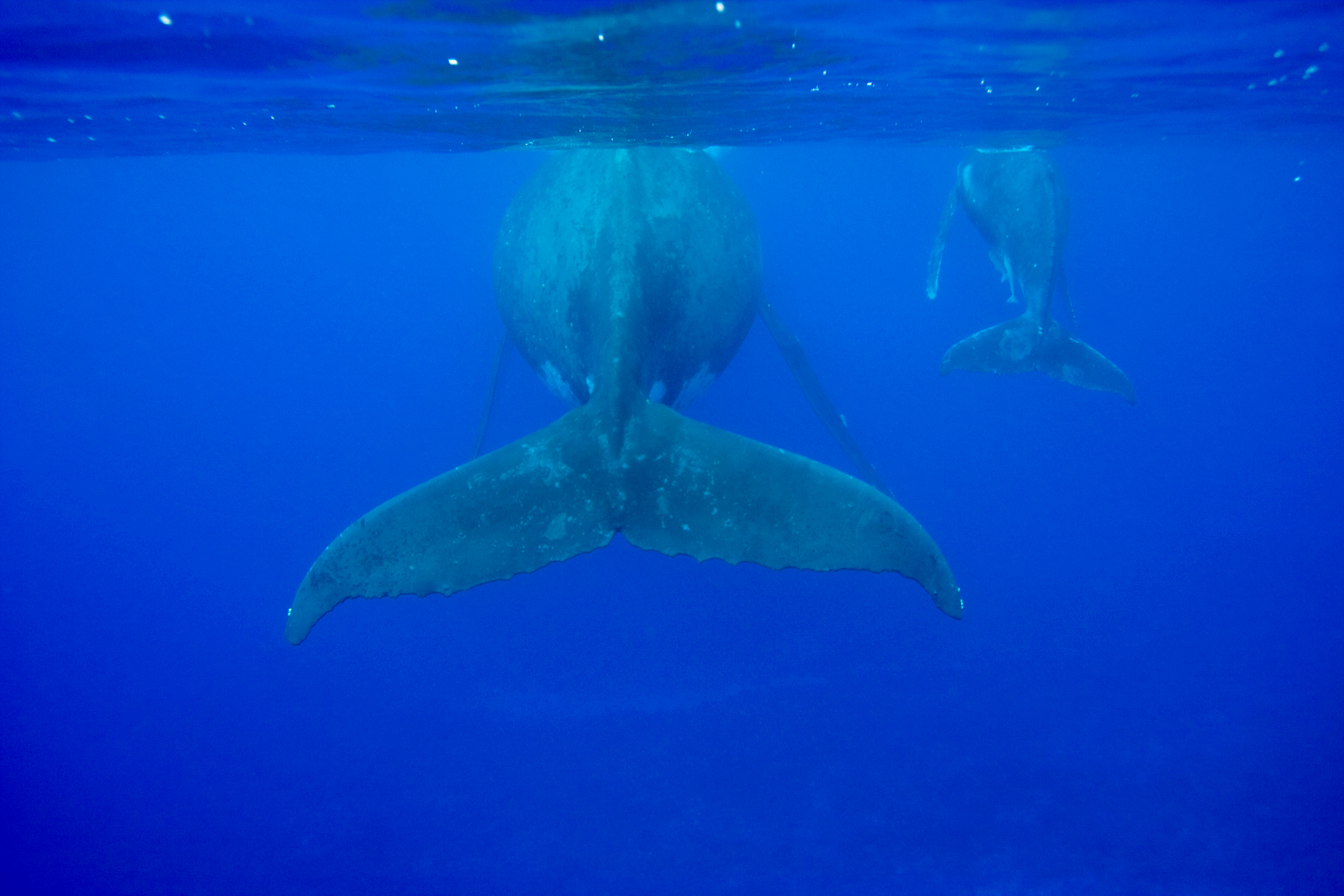 whale fin under water