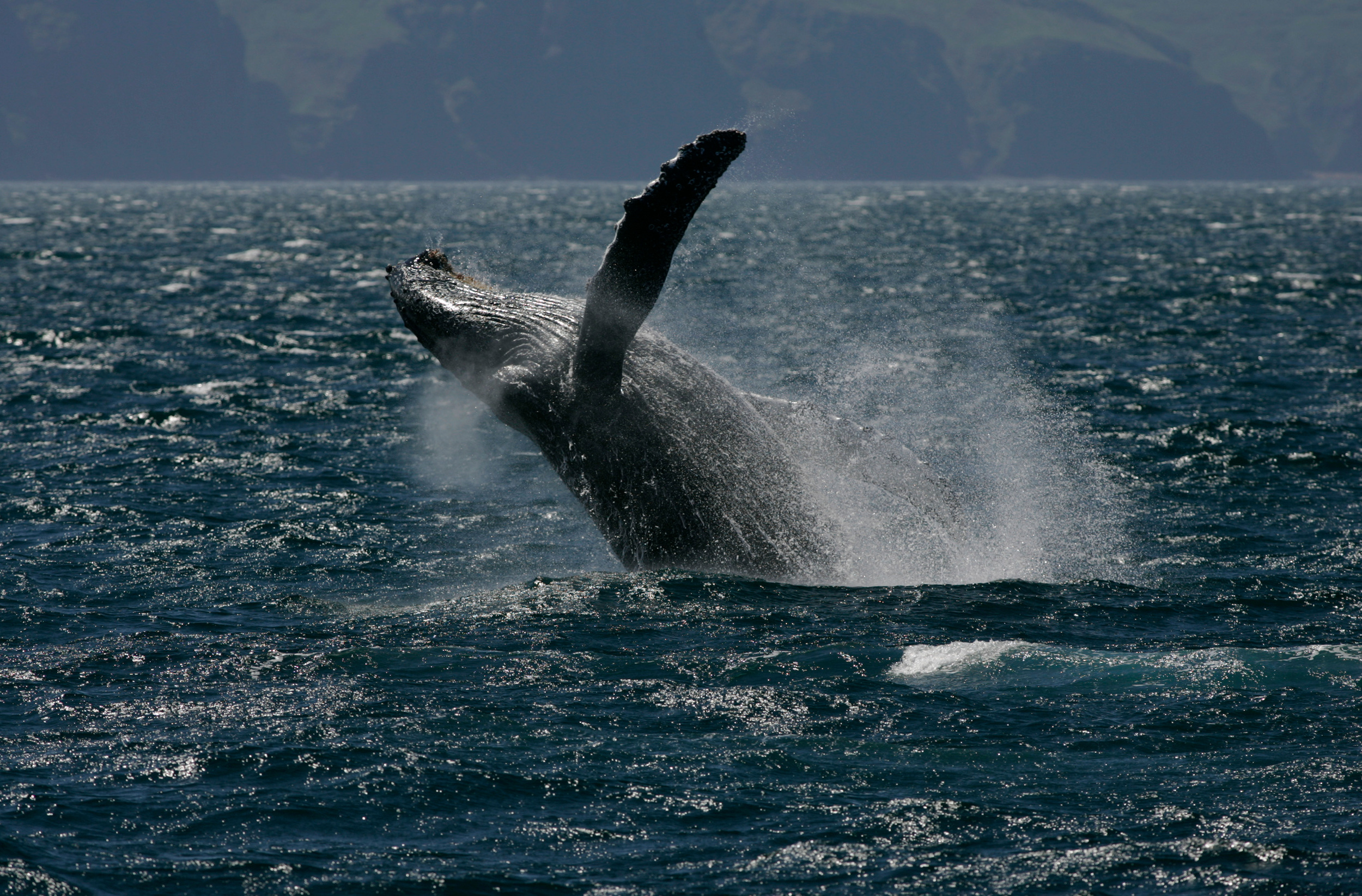 whale splashing in sea