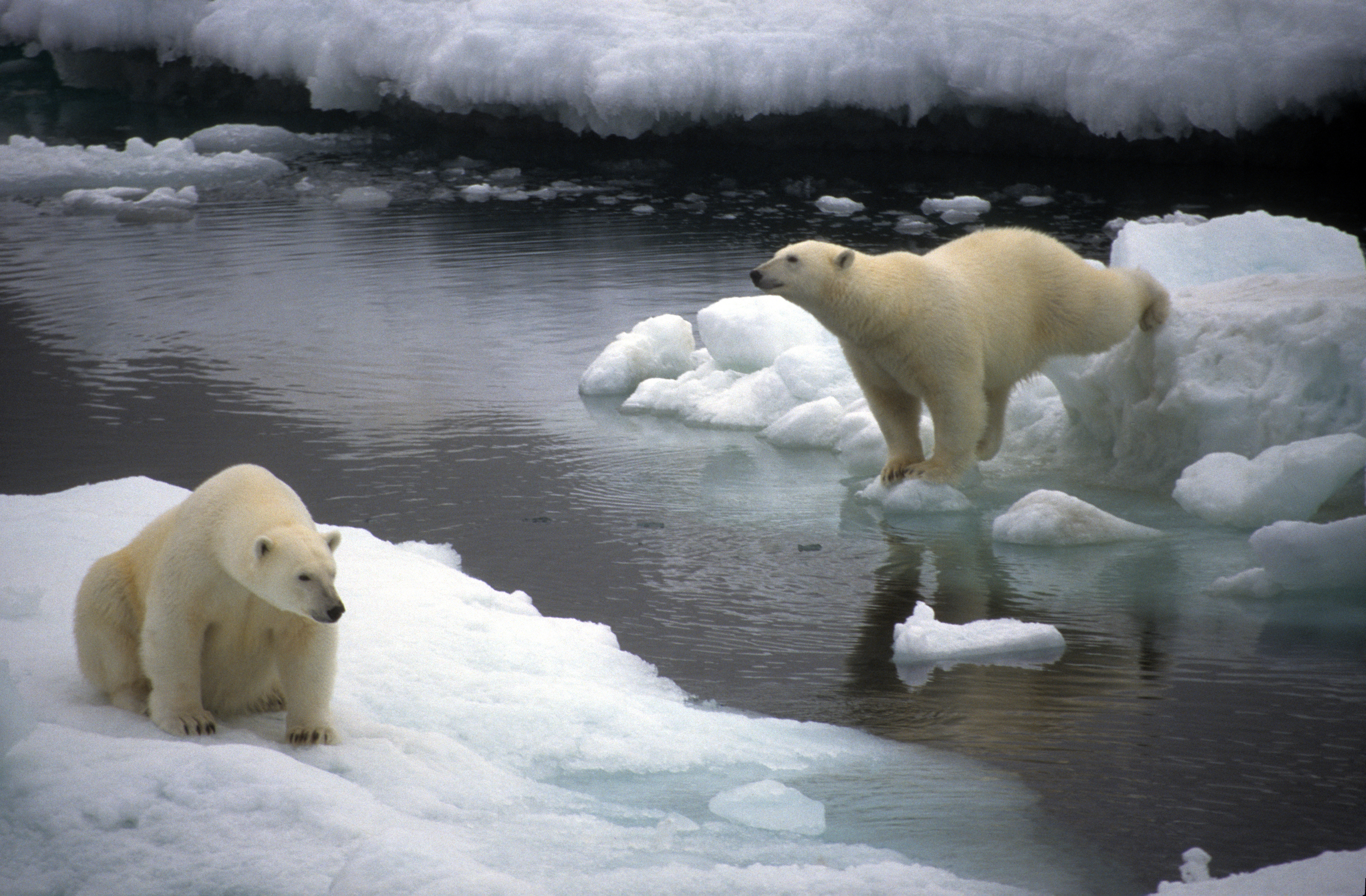 two polar bears on ice floes