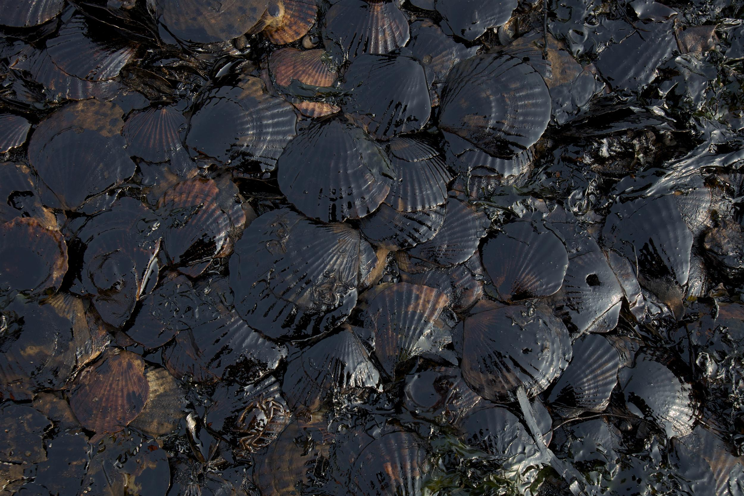 dead scallops covered in oil