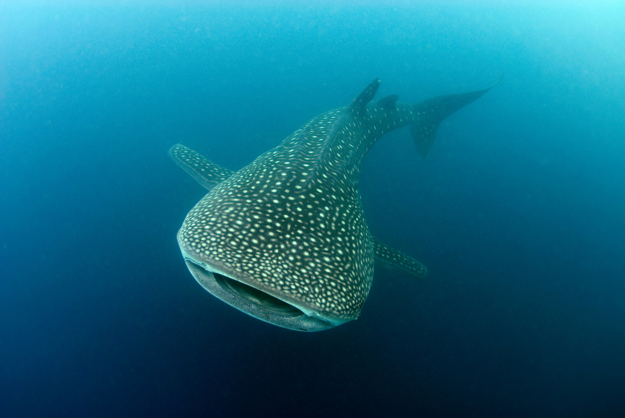 close up of whale shark