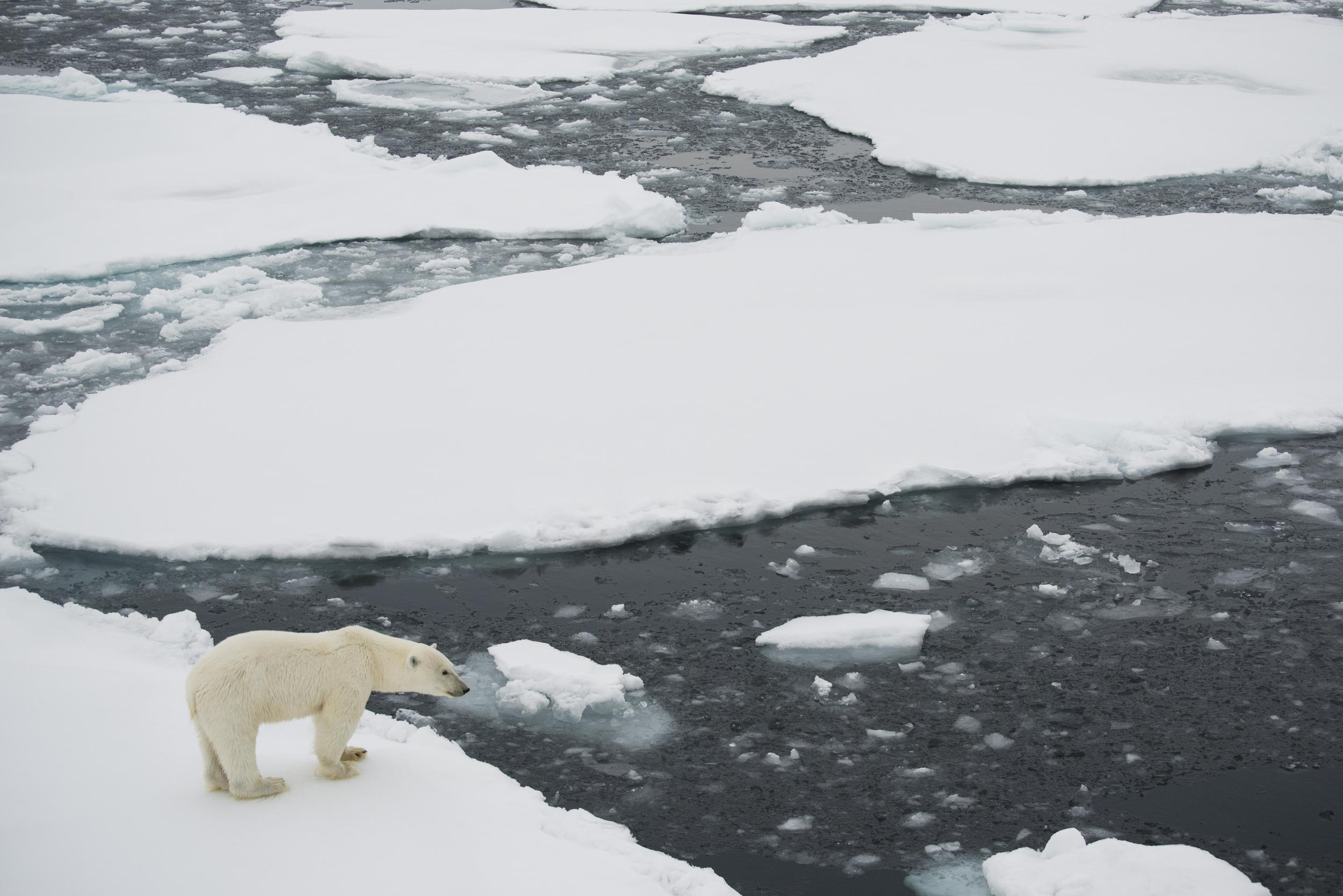 polar bear on edge of ice