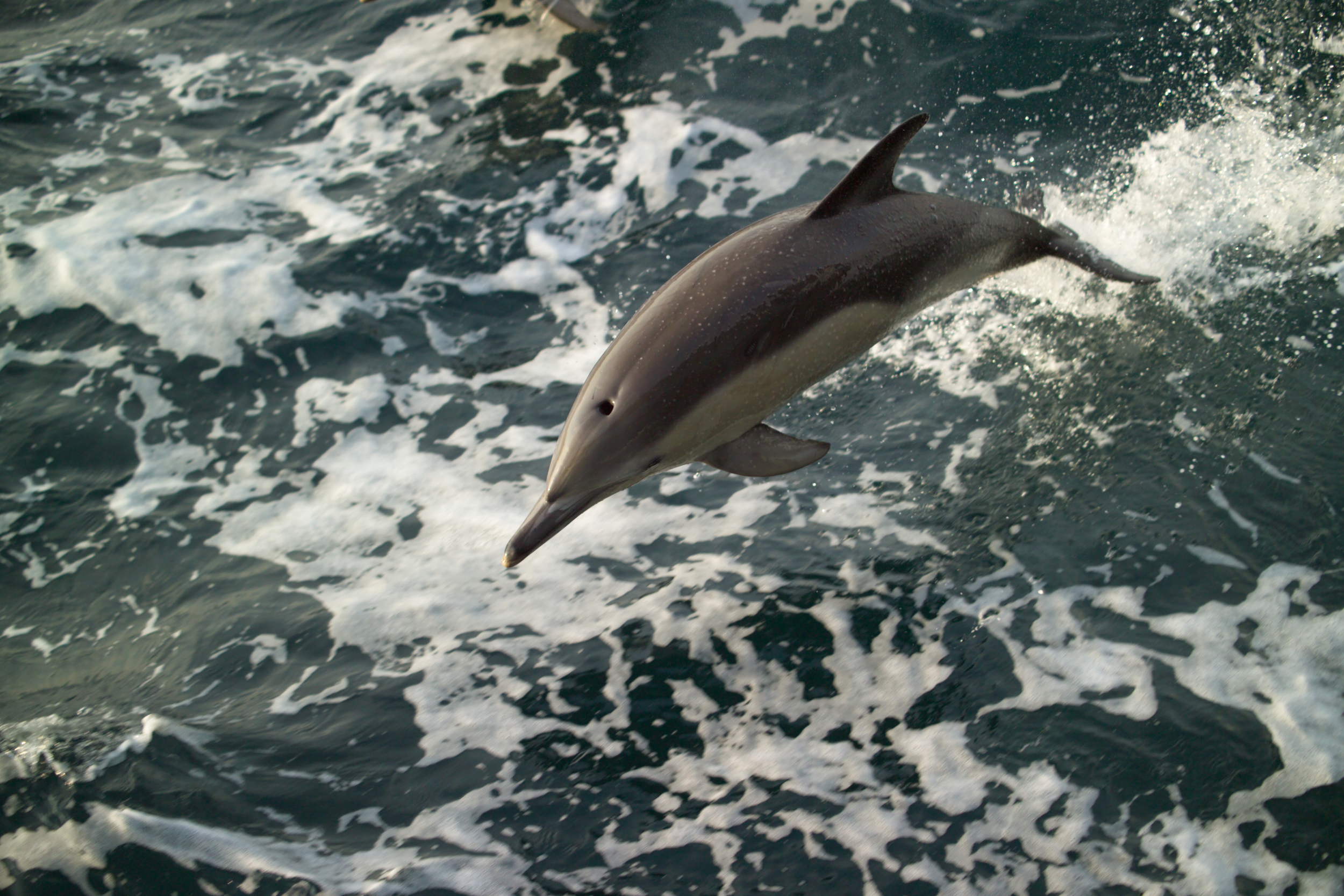 dolphin leaping in waves