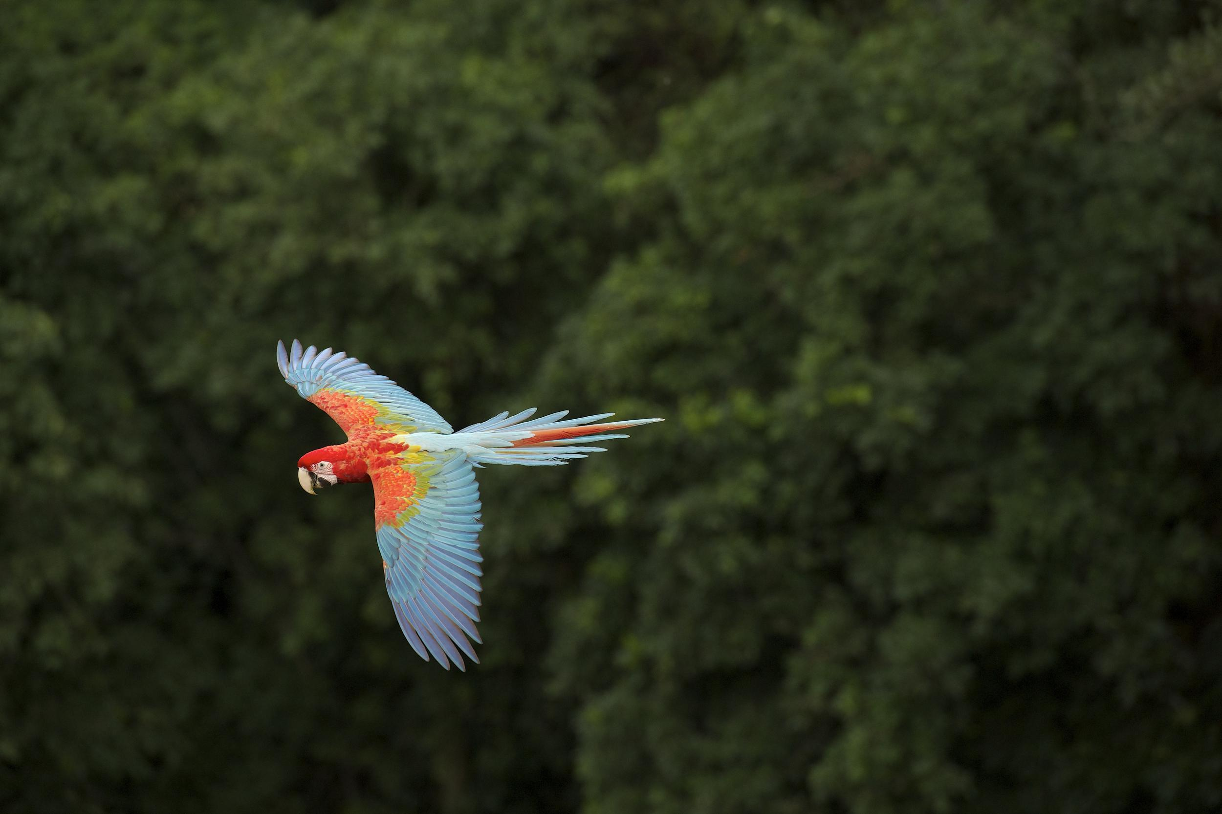 parrot flying over trees