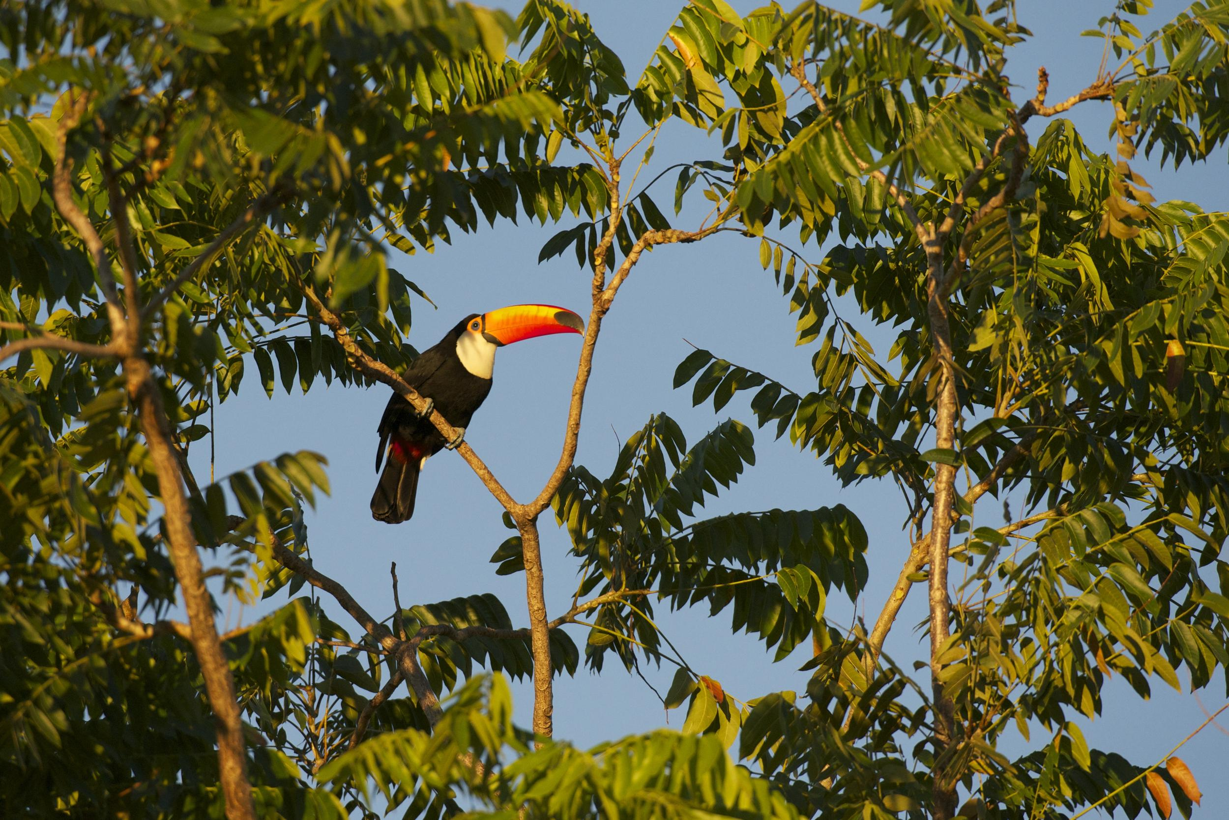 toucan in a tree