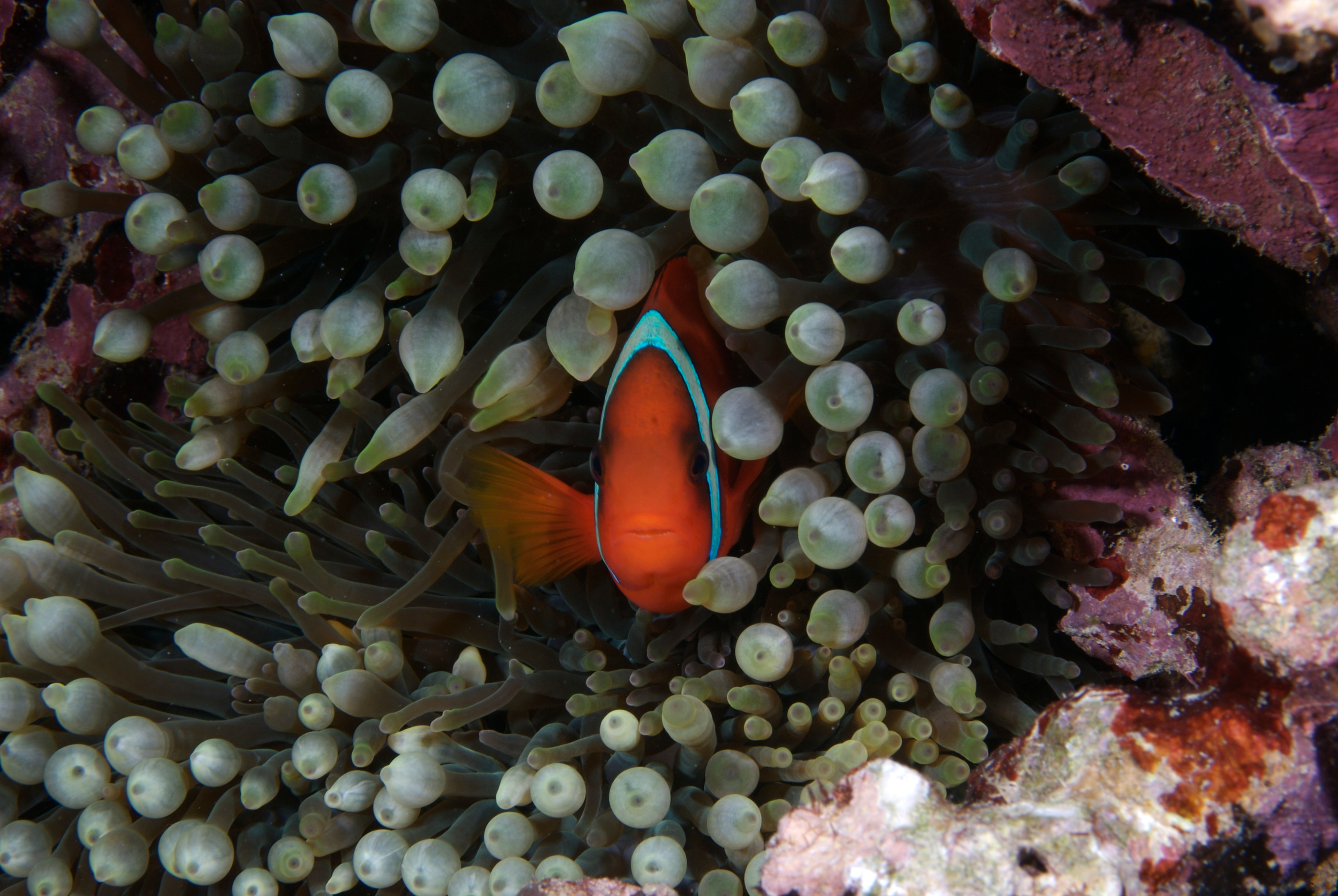 close up of clown fish