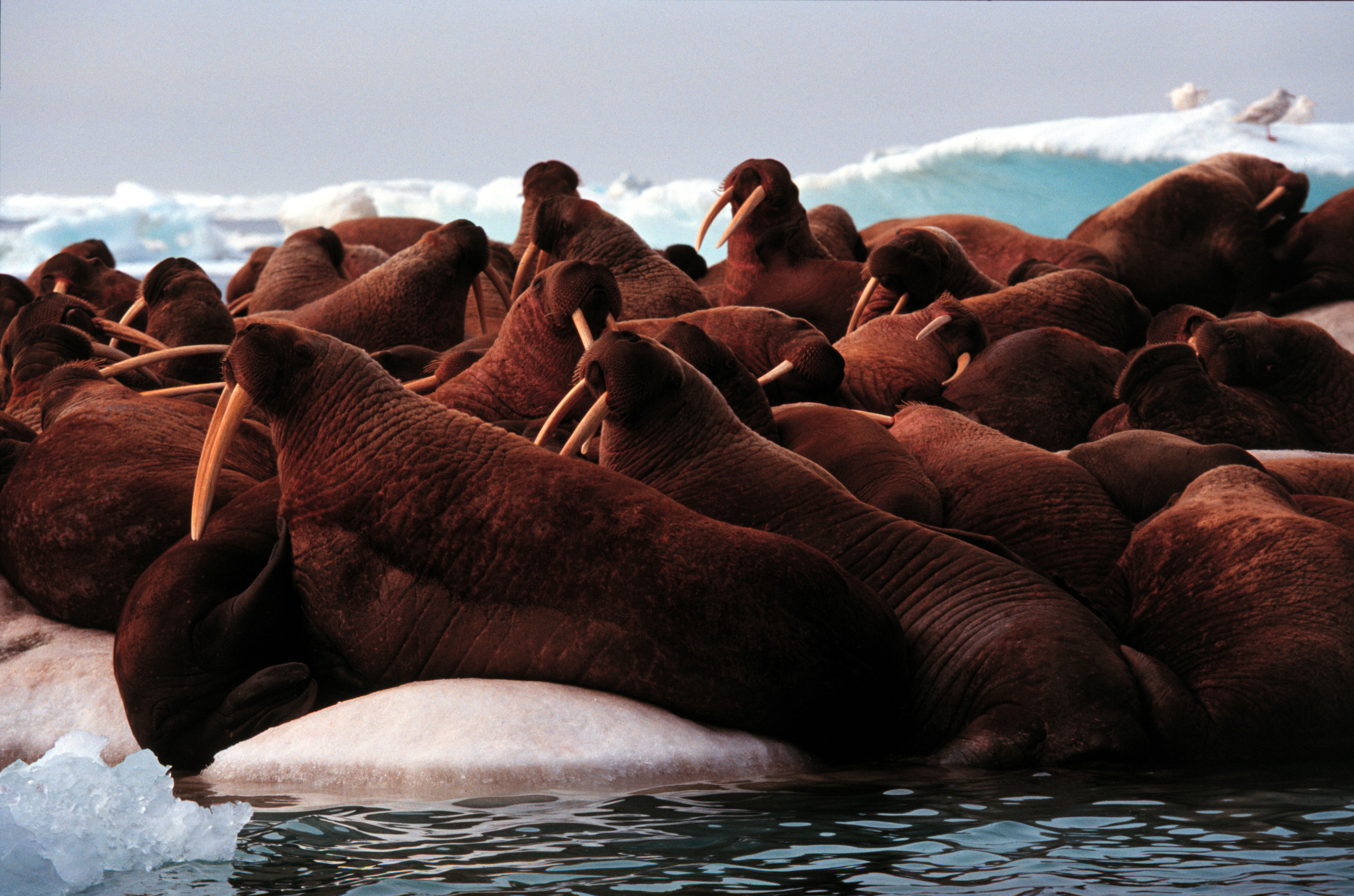 walruses on ice floe