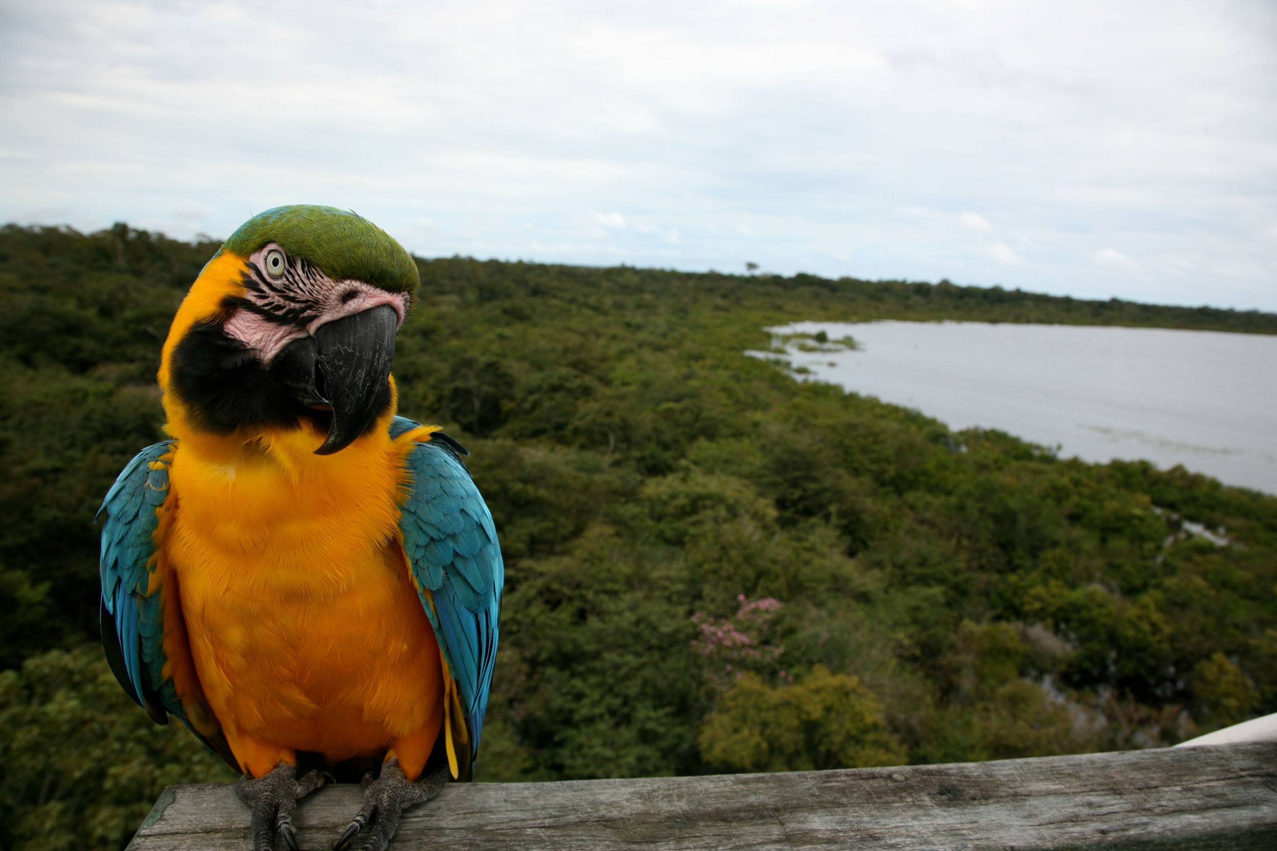 Macaw parrot in front of forest