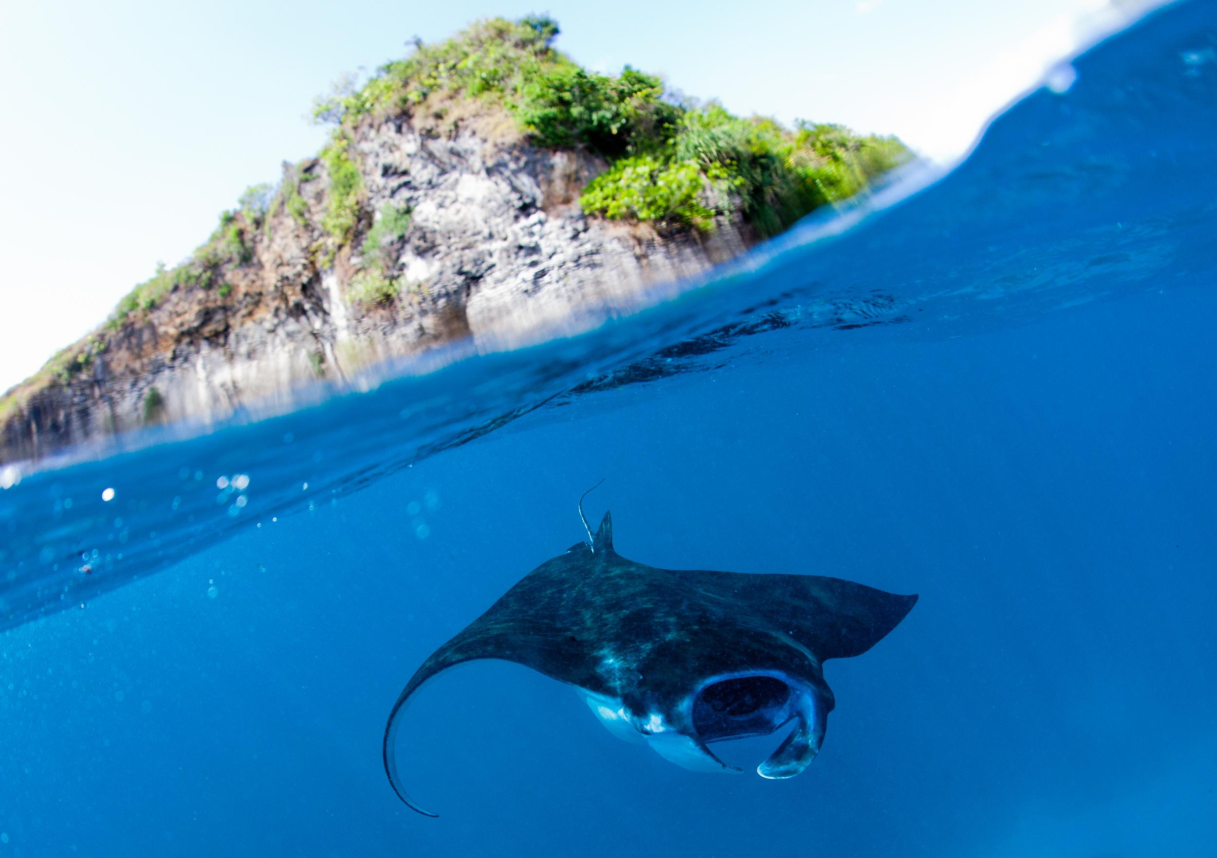 manta ray in the water