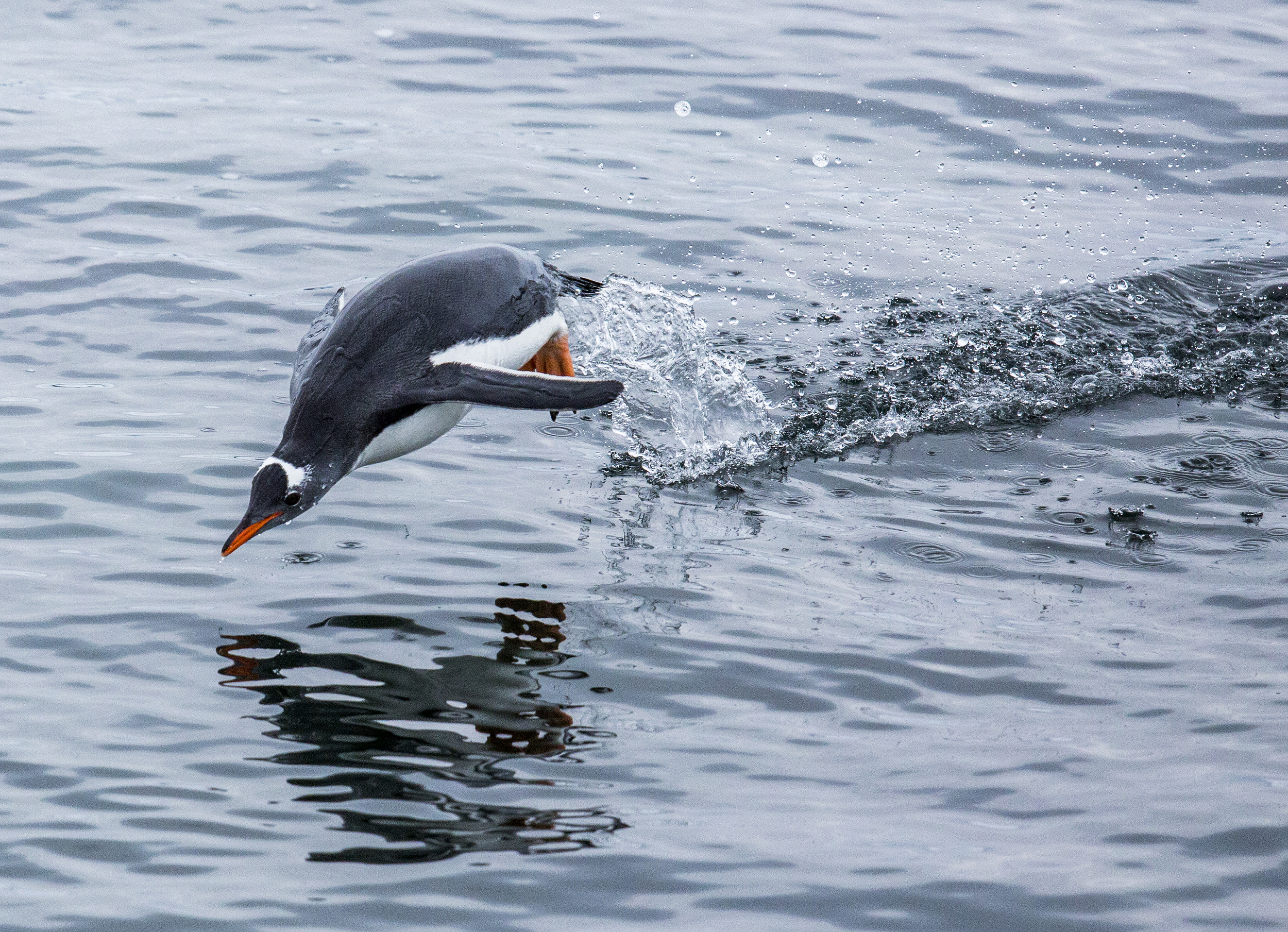 penguin diving into water