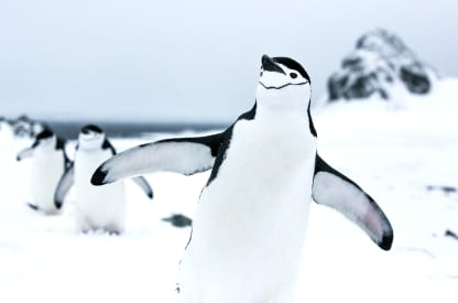 penguin flapping its wings