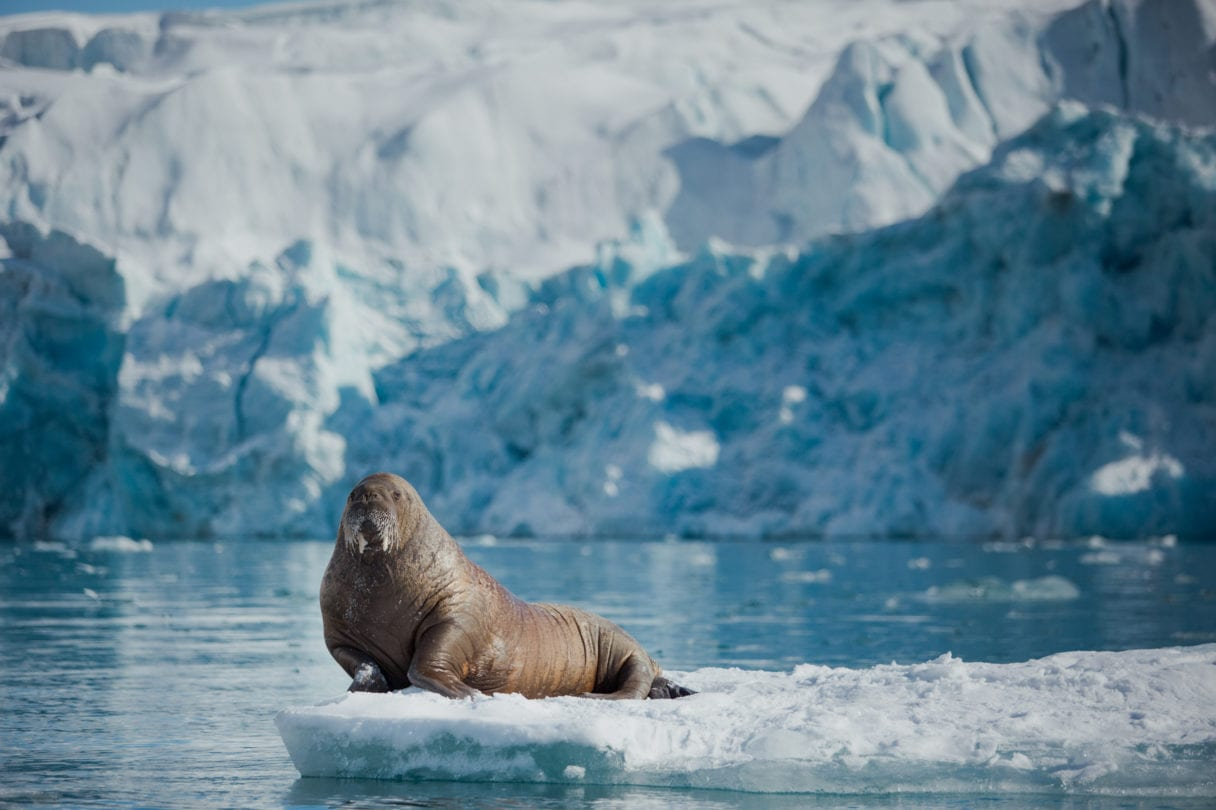 A walrus sitting on ice in the Arctic