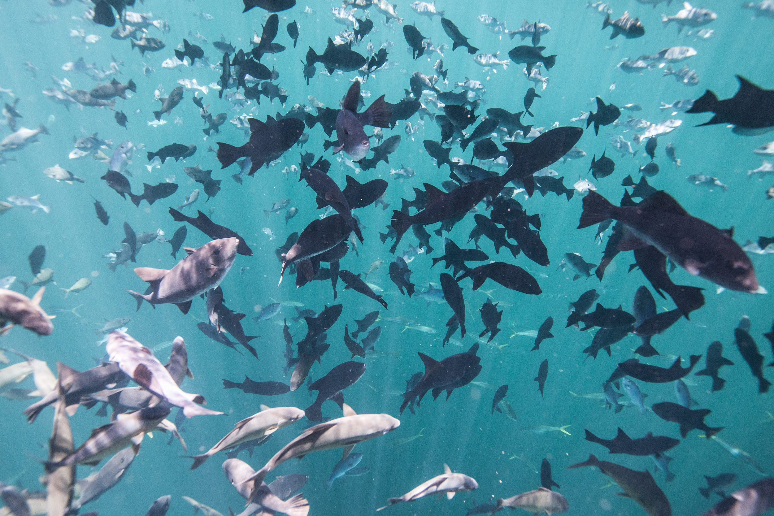 School of fish in the Amazon Reef