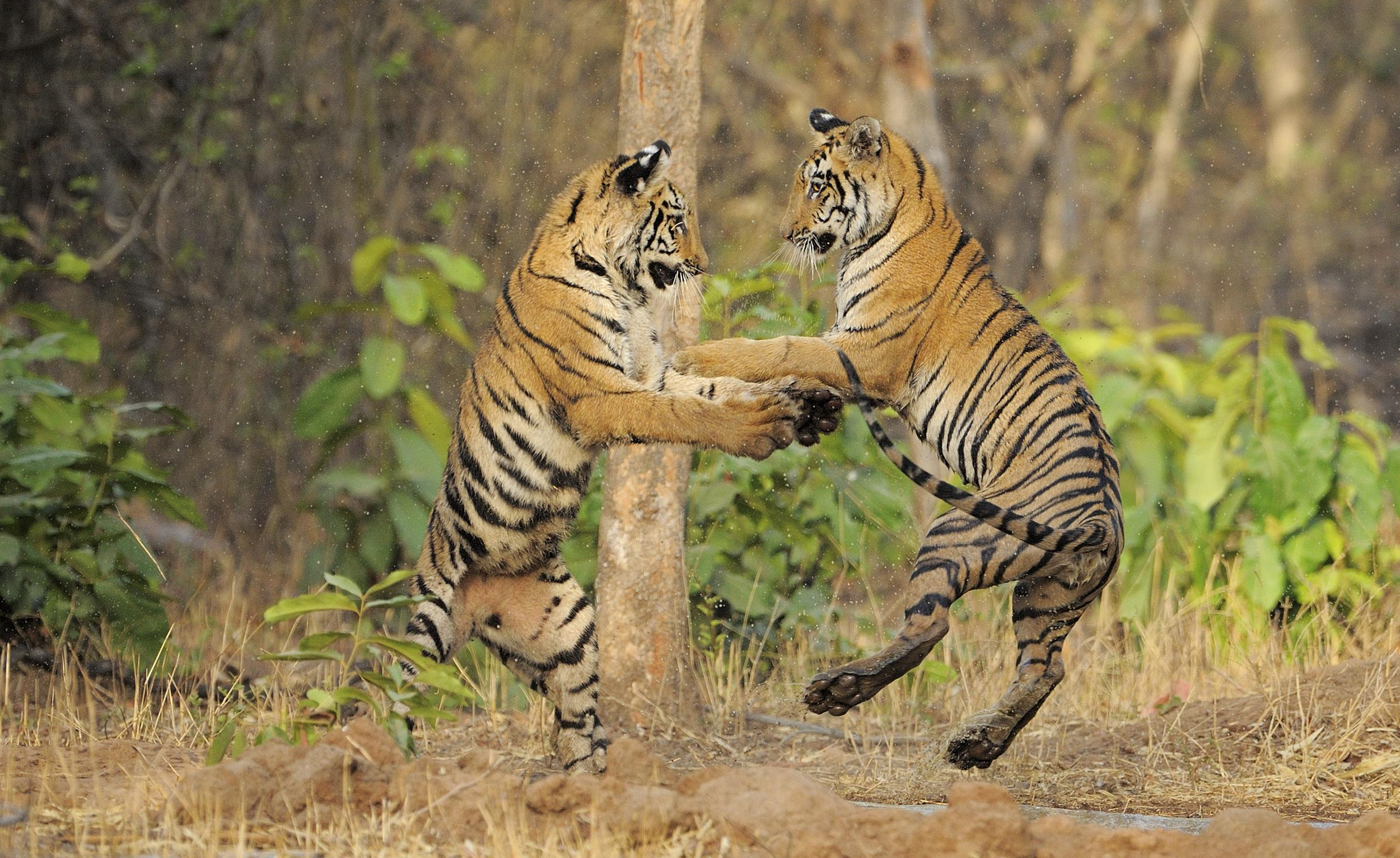Tigers jumping and playing