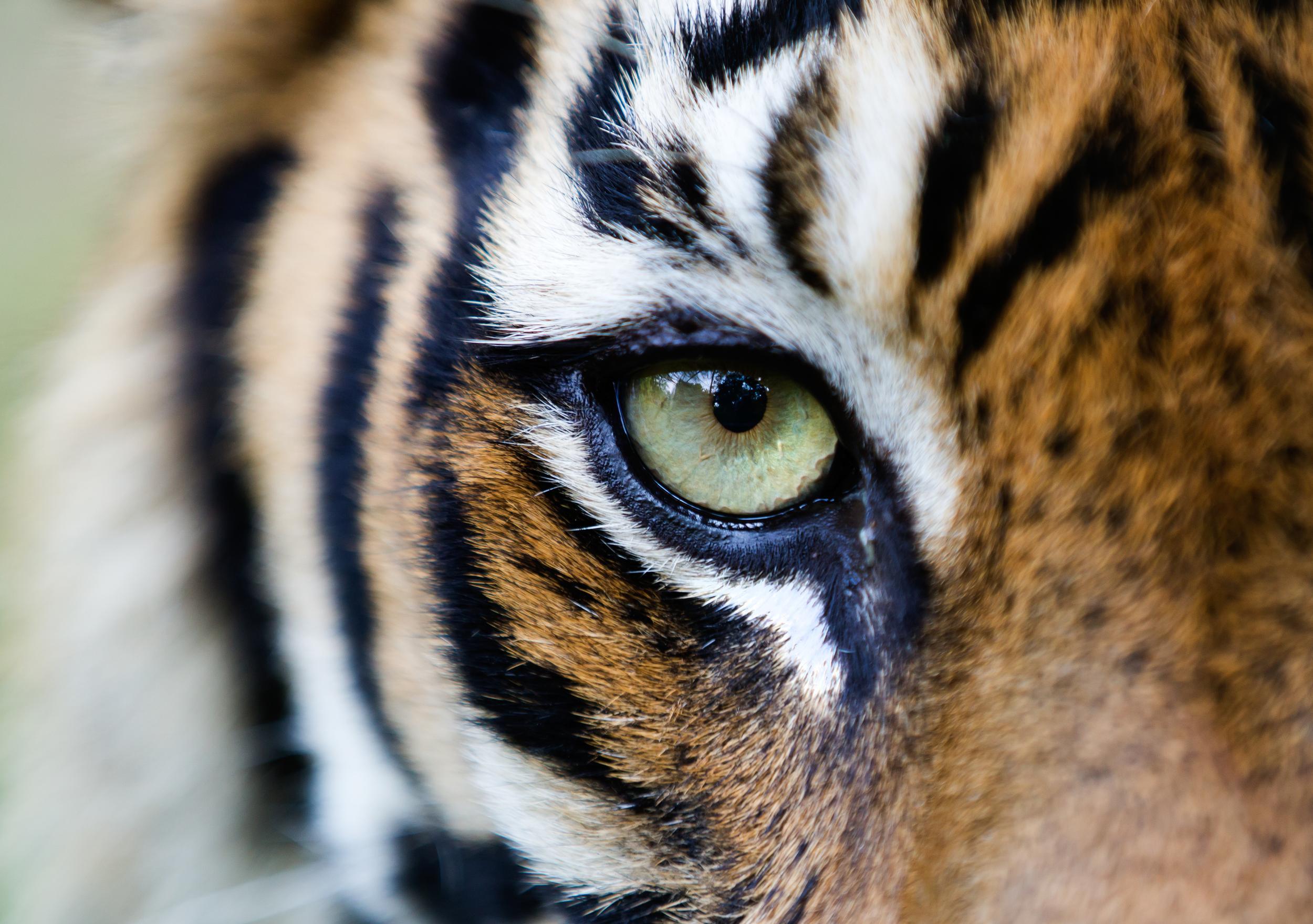 Closeup of a tiger's eye