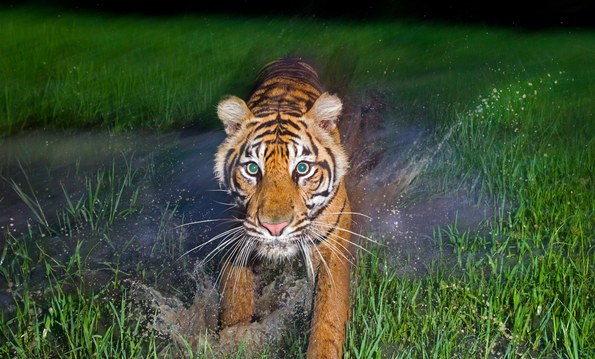 Bright, green eyed tiger in twilight