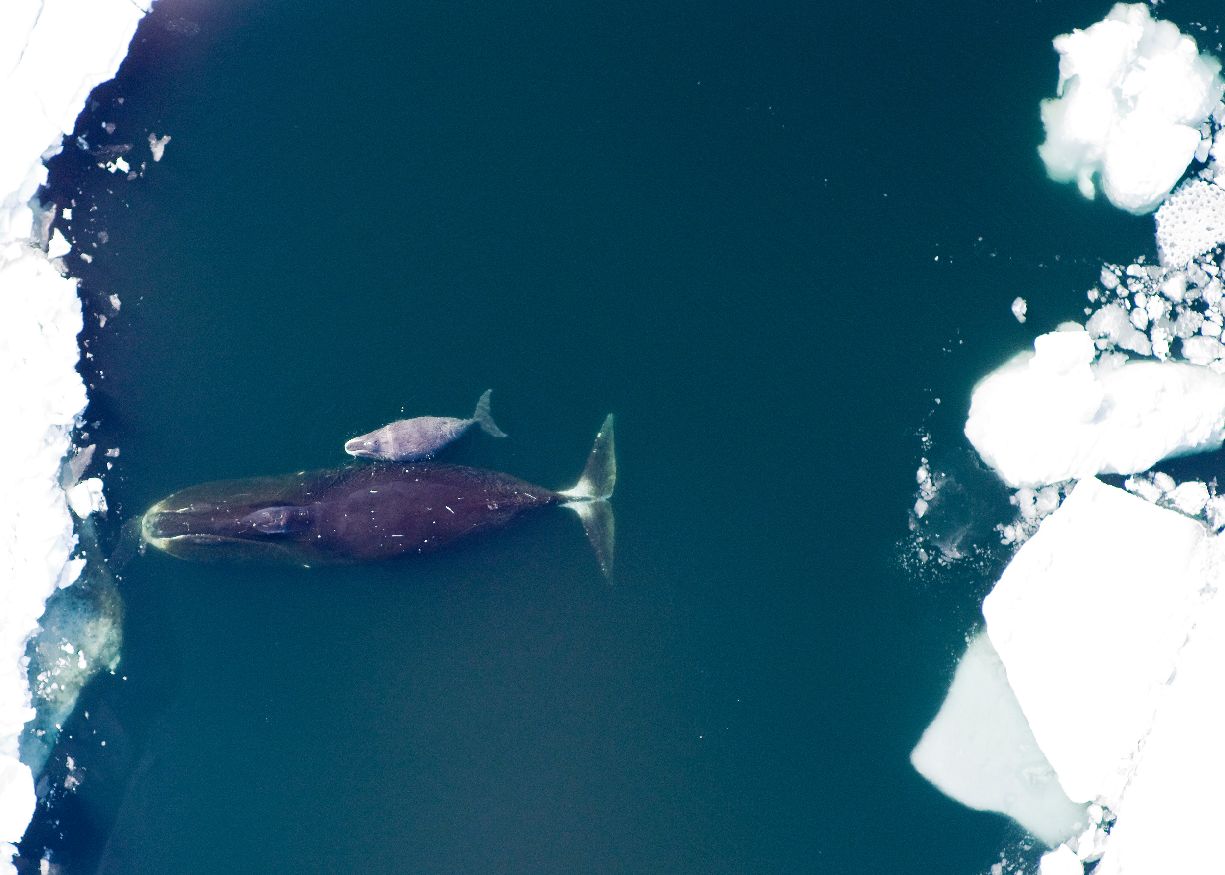 Bowhead whale and calf in the Arctic.