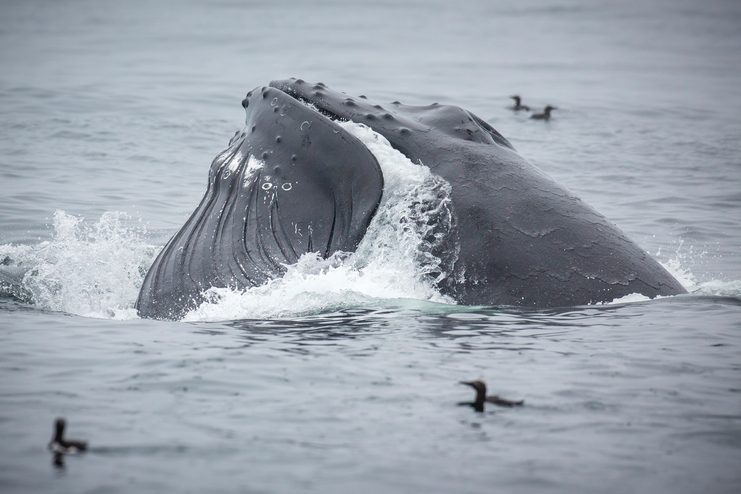 Humpback and Minke whales spotted feeding off the south coast of Bear Island.