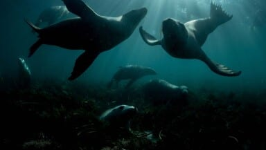 Sea lions swimming in sunlight filtering through the seawater