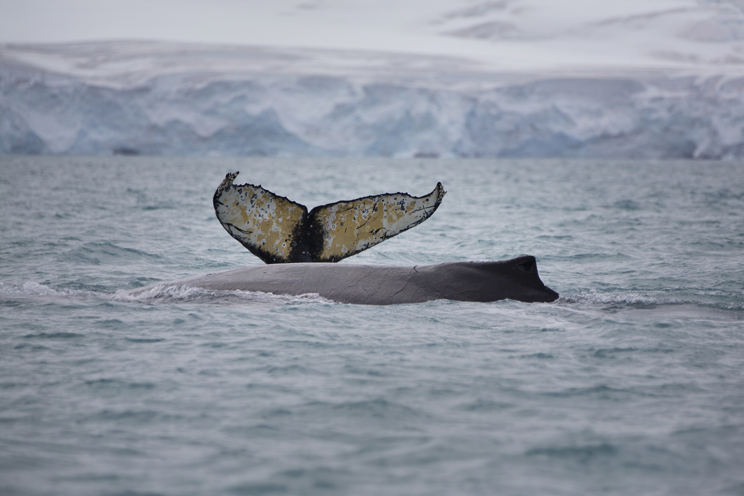Humpback whales swim in the waters off Half Mood Island, Antarctica.