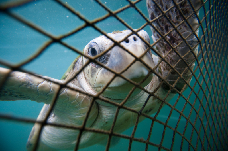 An Olive Ridley turtle is pictured in a holding net at a fish farm outside Sanya in Hainan Island.