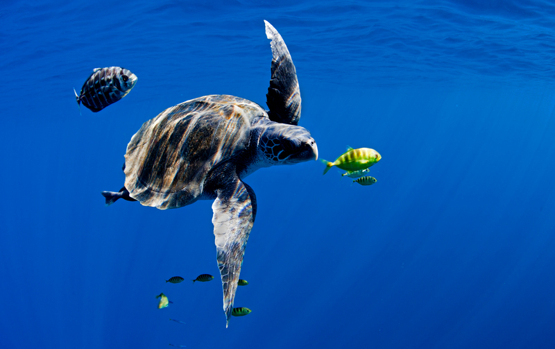 An Olive Ridley turtle (Lepidochelys olivacea) swims in the open blue ocean of the Pacific. Greenpeace is touring the Pacific, promoting marine reserves and conservation measures to protect fish stocks and all marine life.