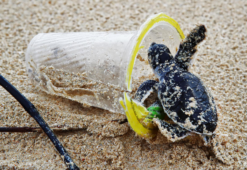 Baby green sea turtle in a plastic cup on the beach on Bangkaru Island, Sumatra.