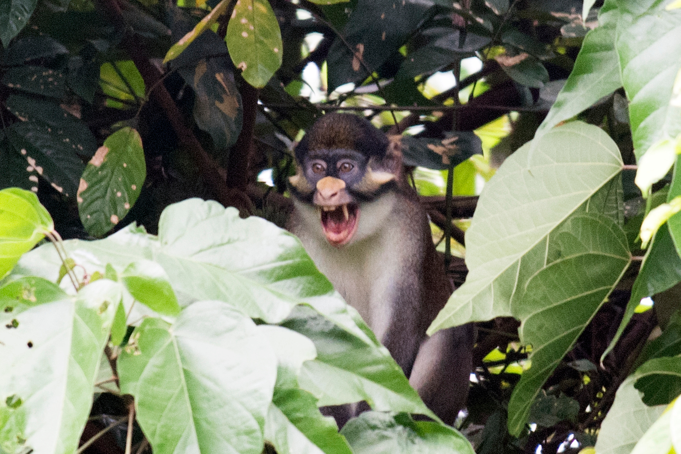 A red-tailed monkey sitting on a branch in a lush forest. It's mouth is open as if it's uttering a loud call.