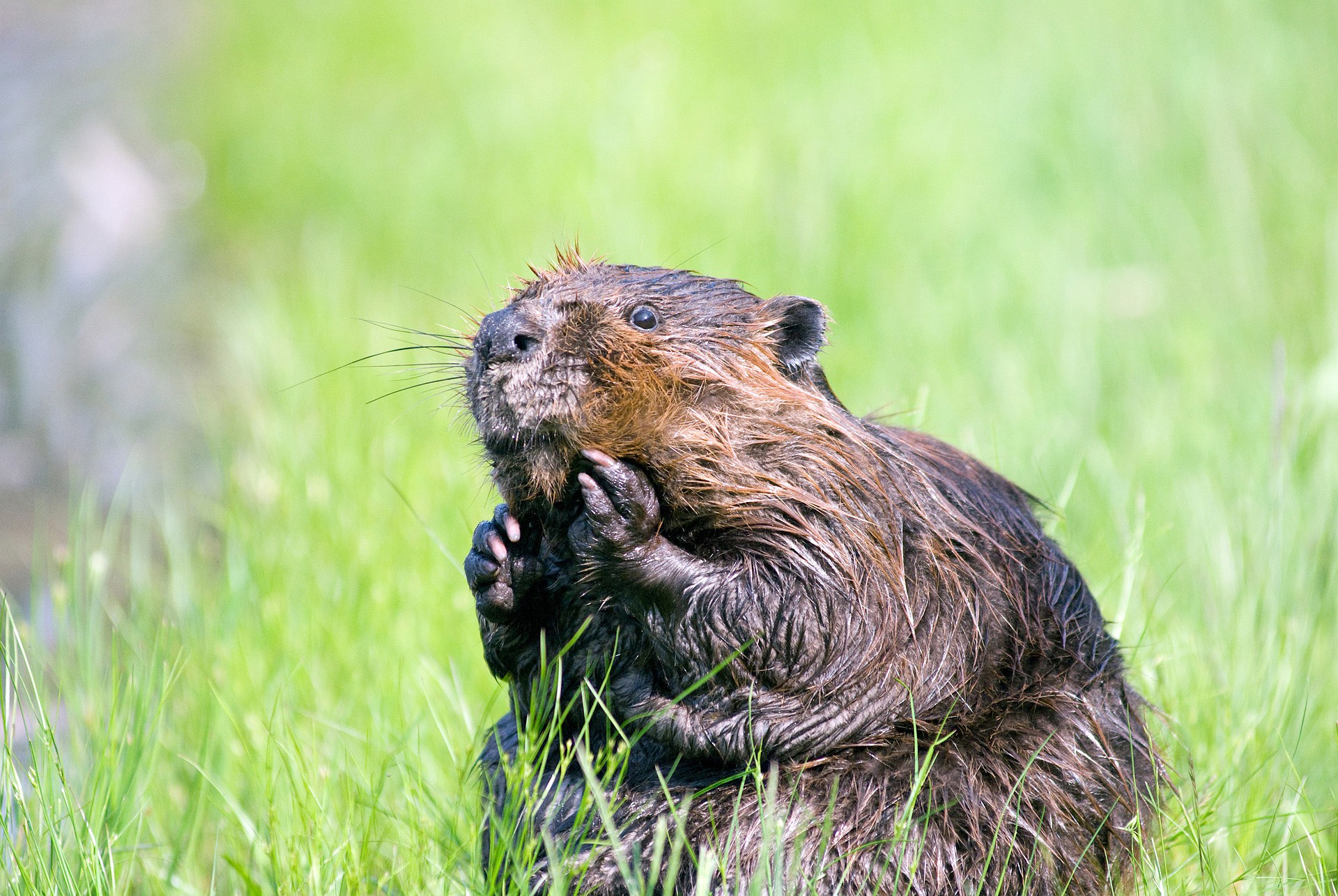 A beaver sits on its hind legs in long grass