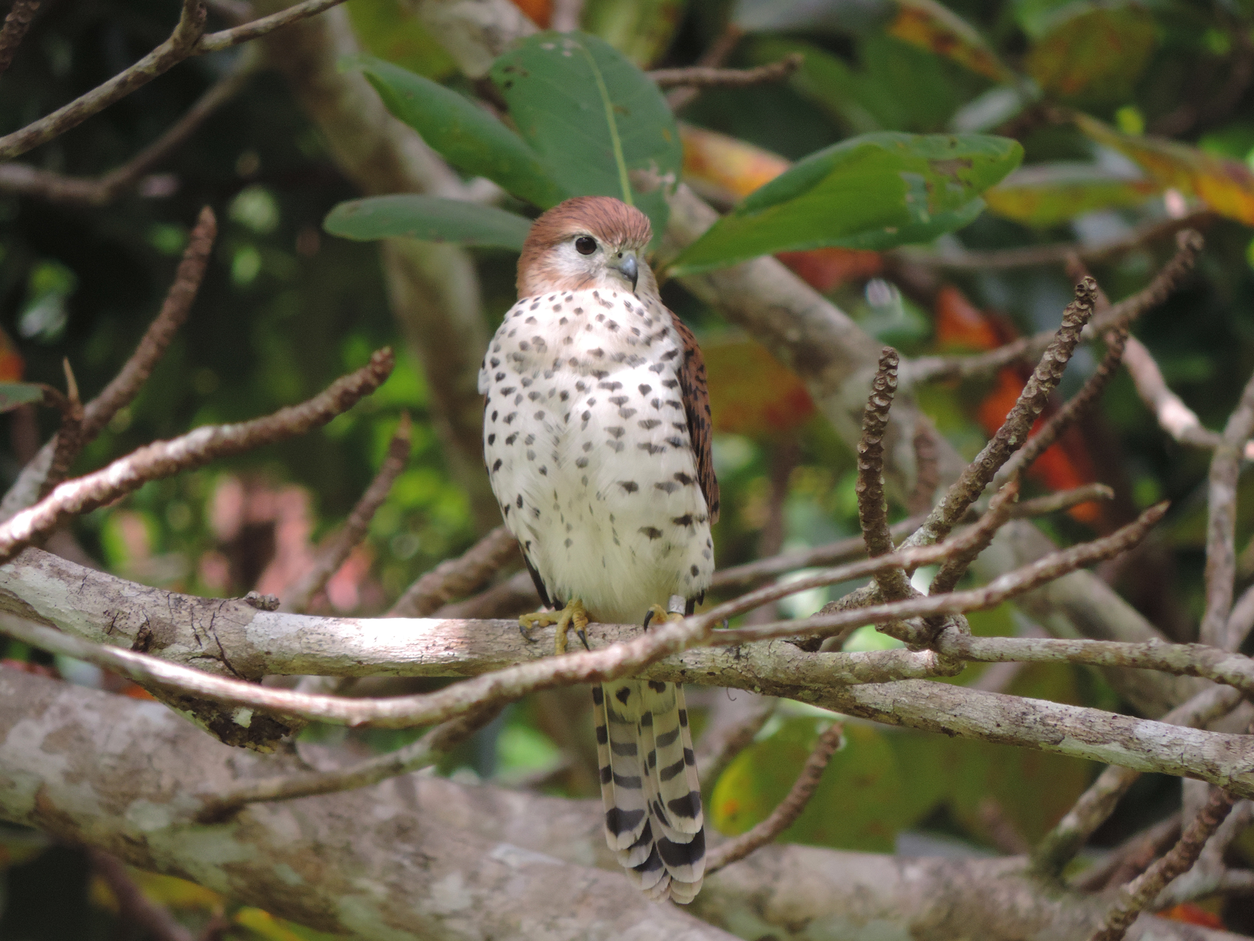 A Mauritius kestrel sits on a branch in a lush forest