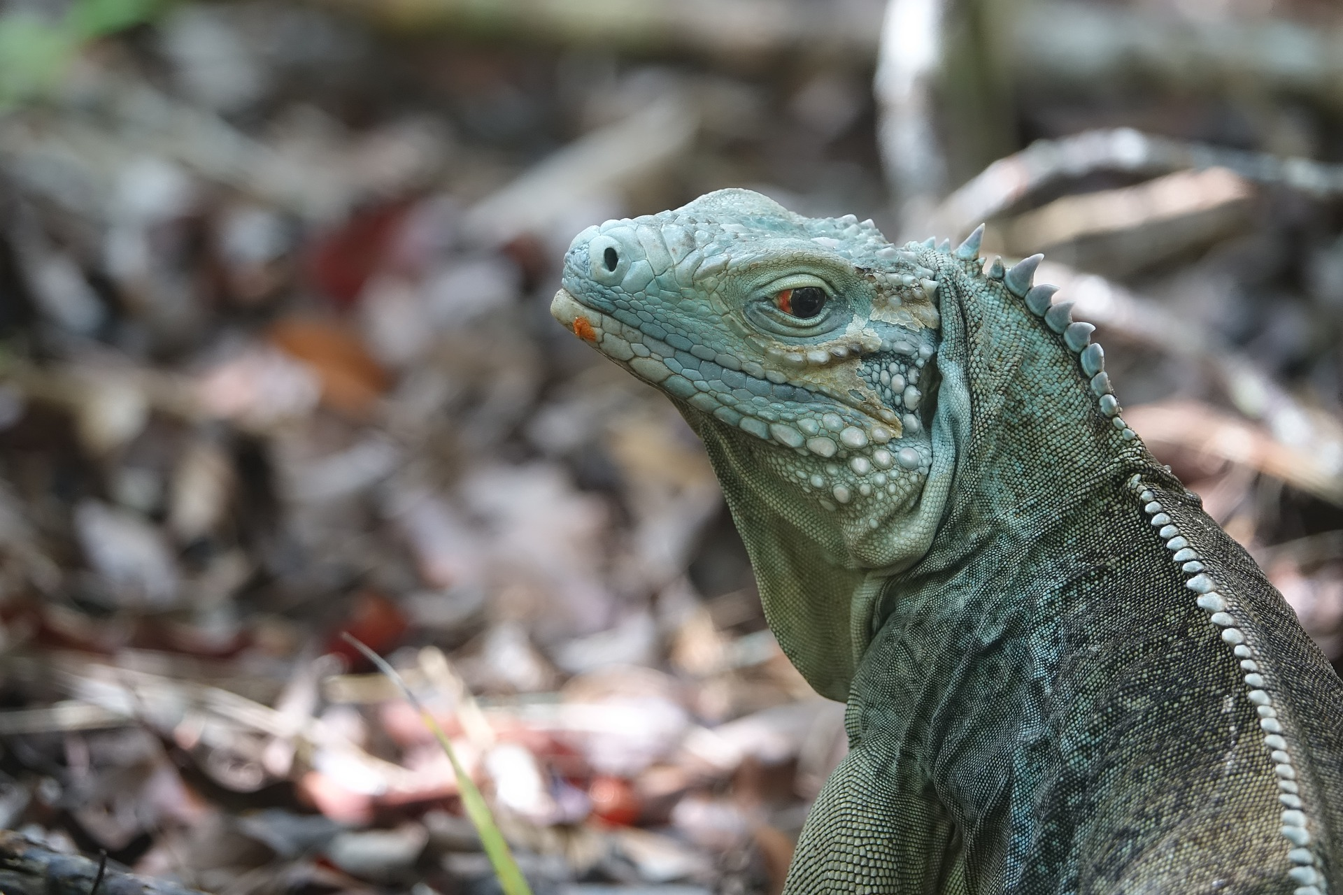 A blue iguana looks over its left shoulder into the camera