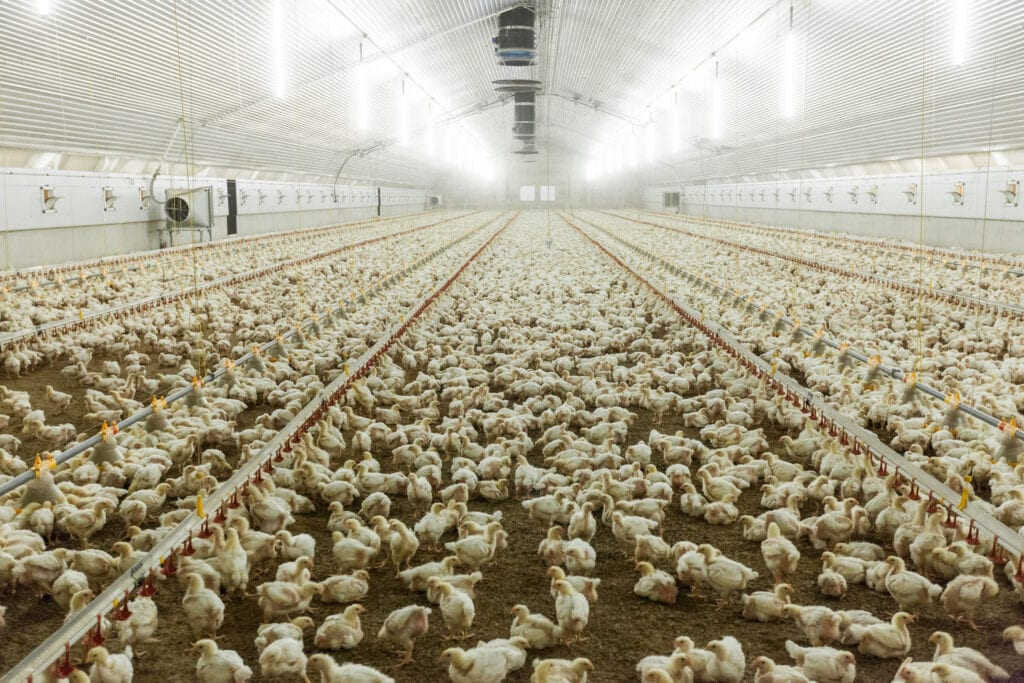 Thousands of chickens into a brightly lit industrial shed.