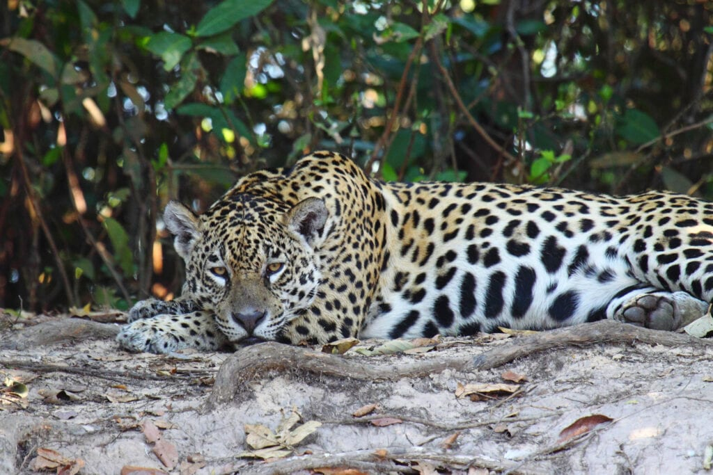 A jaguar lies on a branch in a lush forest, looking directly into the camera.