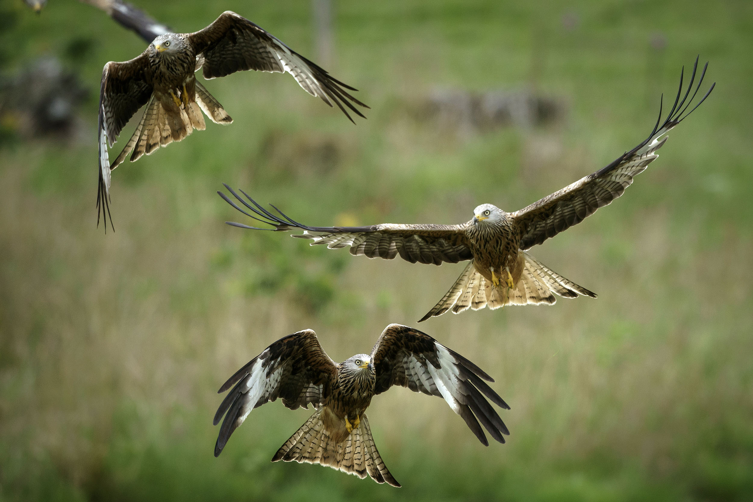Red kites descend on a feeding station at the Gigrin Farm Red Kite Feeding Centre in Rhayader, Wales.