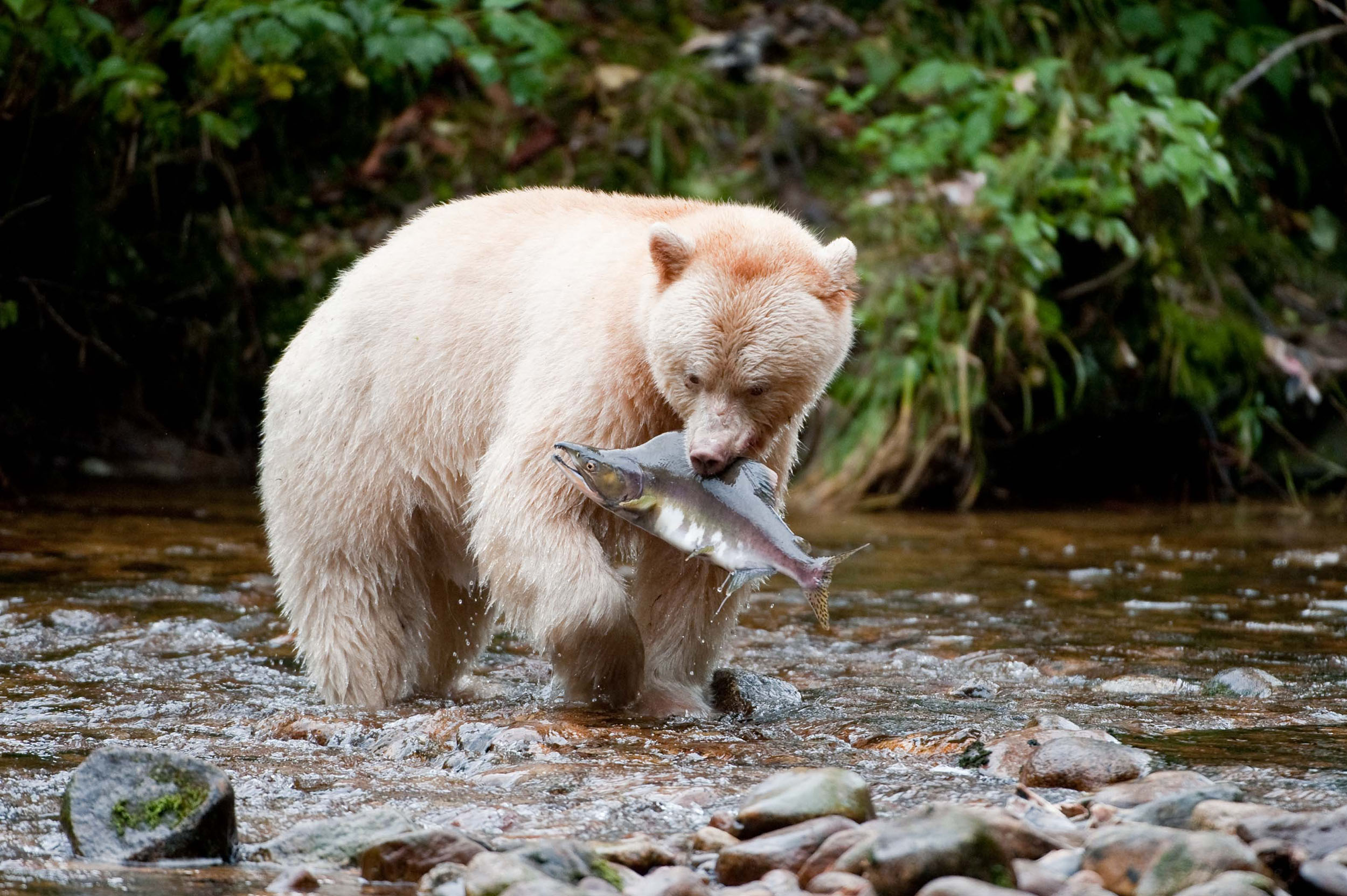 A large white bear stands in a shallow river with a large fish in its mouth.