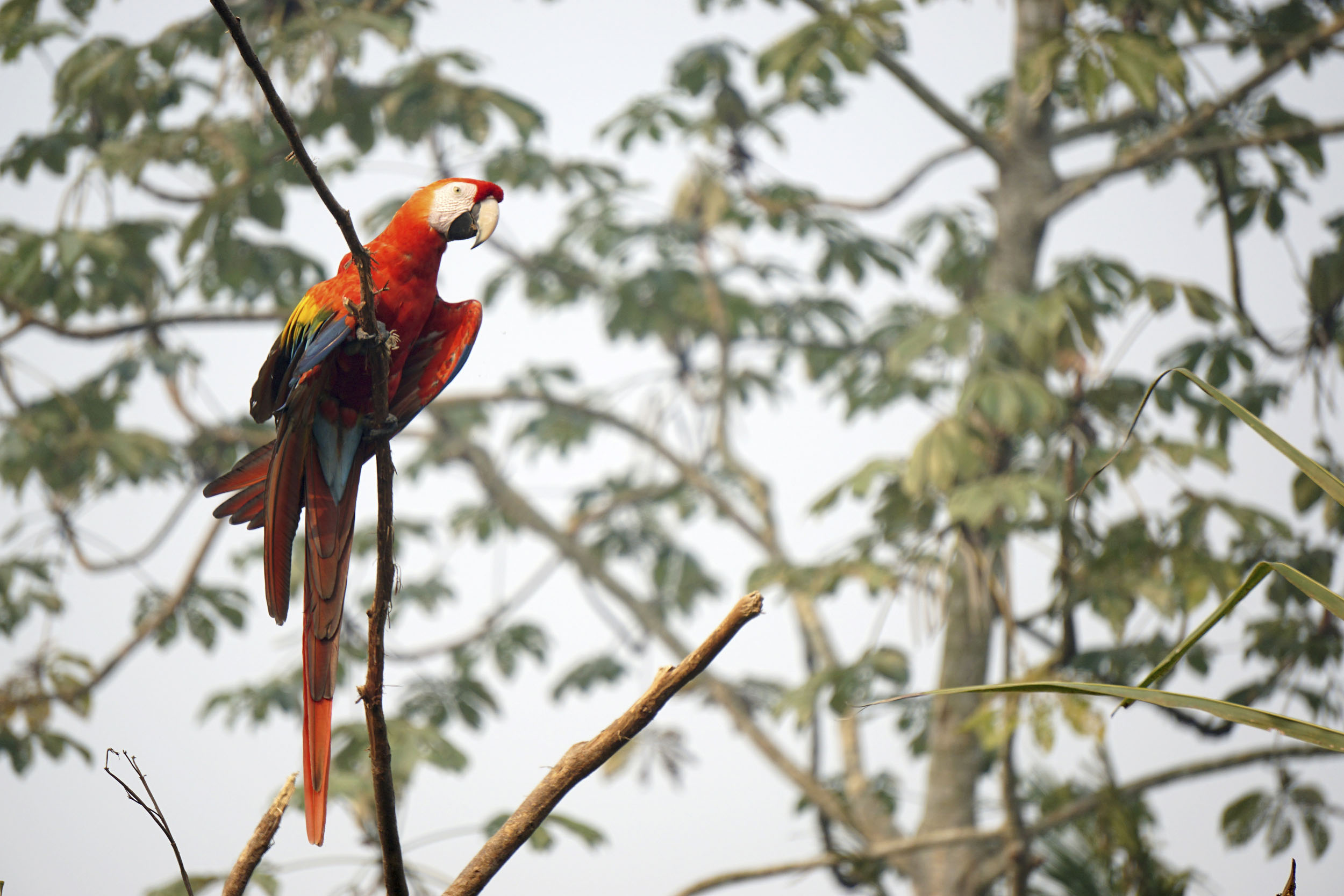 A red, yellow and blue macaw perched on a thin branch surrounded by leaves