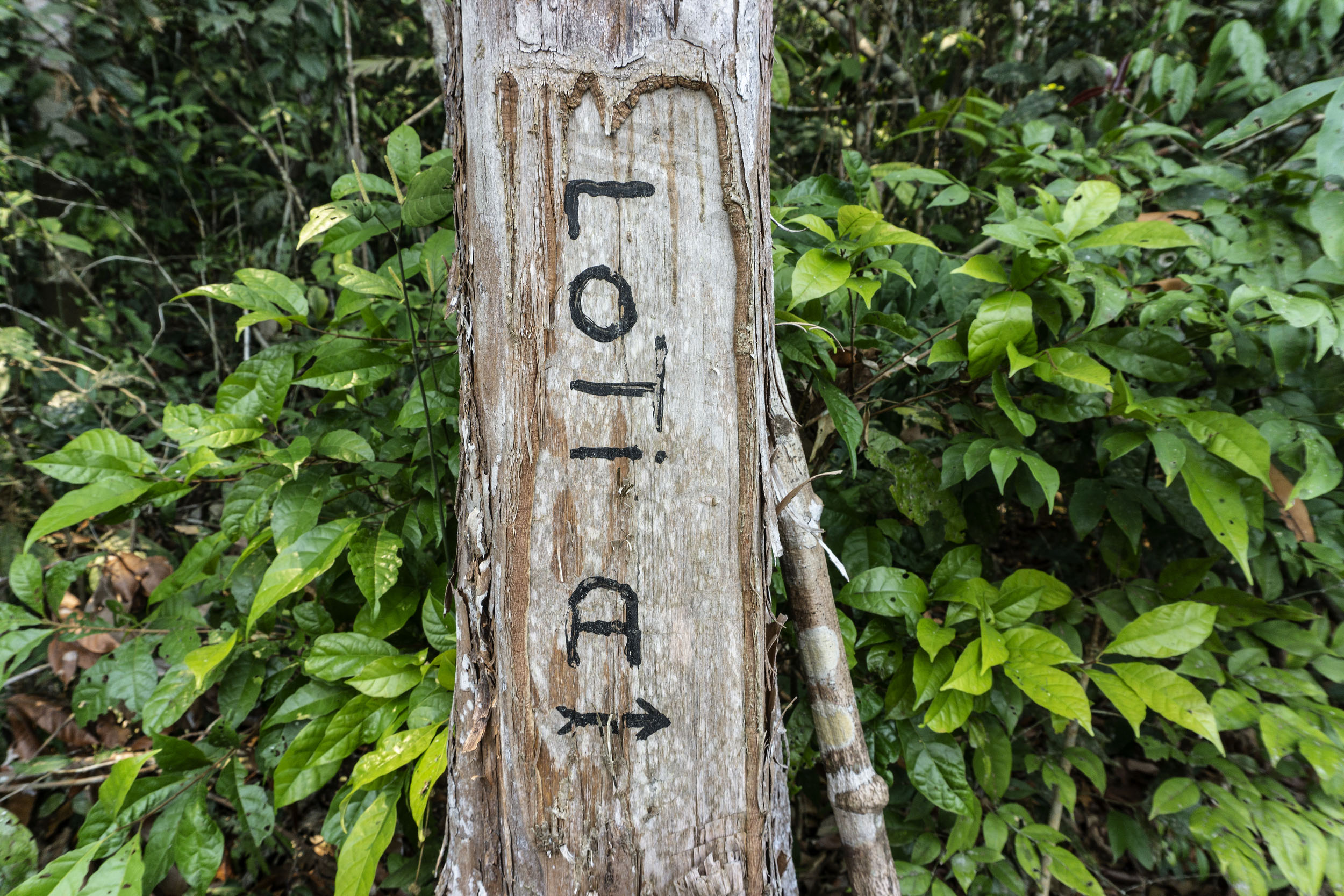 A thin tree trunk with a marking reading LOTi A with an arrow in black marker pen.