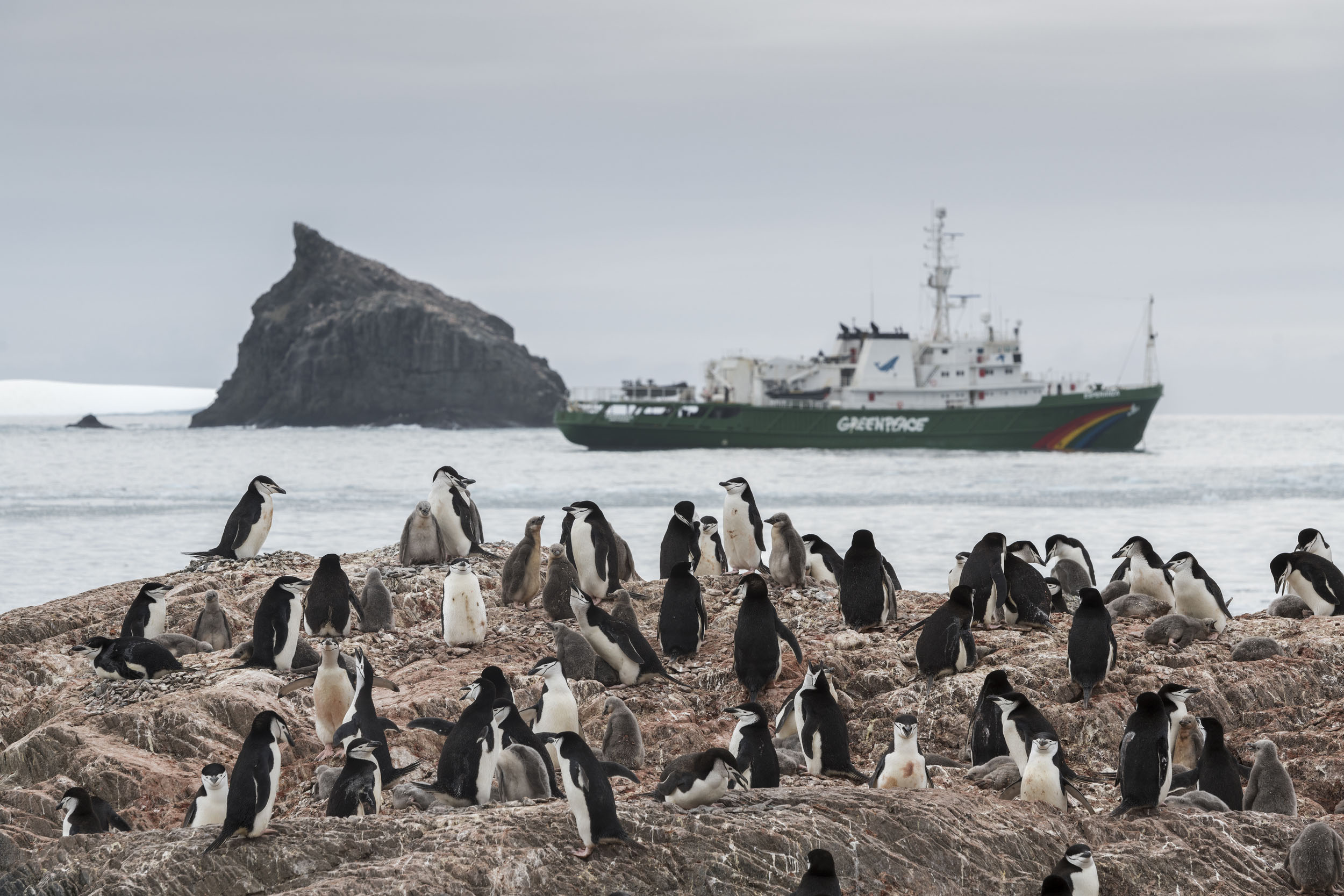 A colony of chinstrap penguins gathers on a rock. A Greenpeace ship is visible in the background.