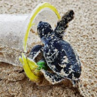 Baby green sea turtle in a plastic cup on the beach
