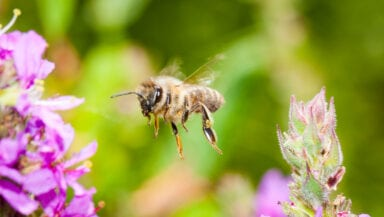 Bee flying towards a clump of purple flowers