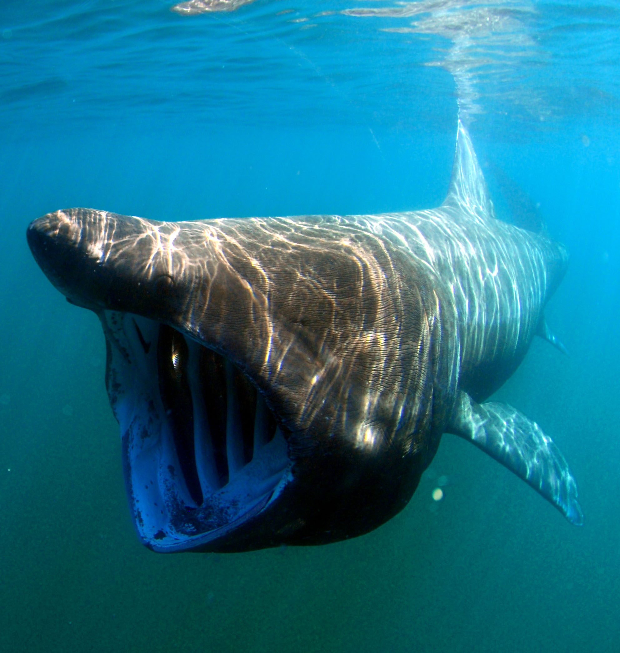 A sun-dappled basking shark swims towards the camera with its huge mouth open.