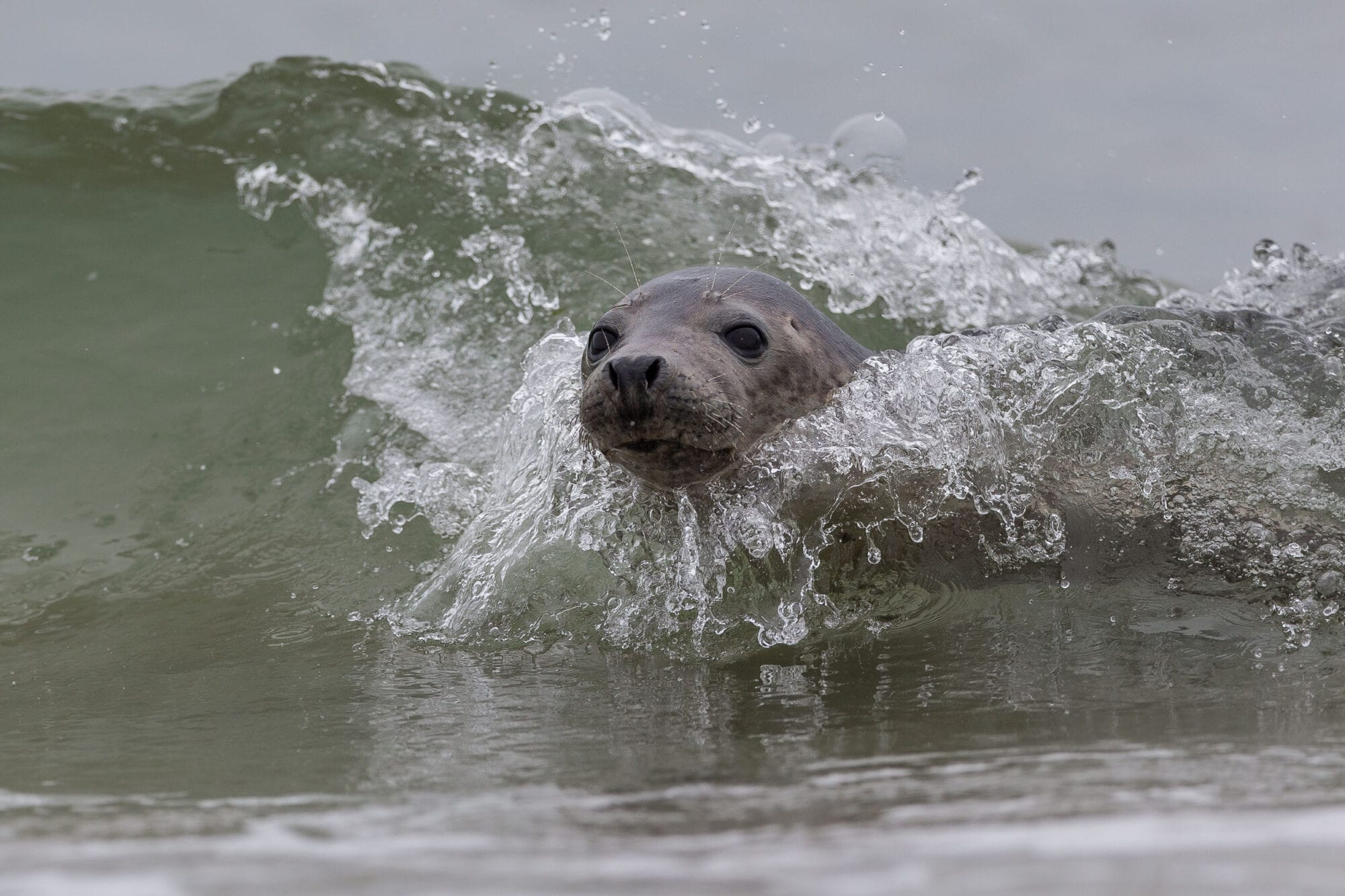 A grey seal's head emerges from a breaking wave